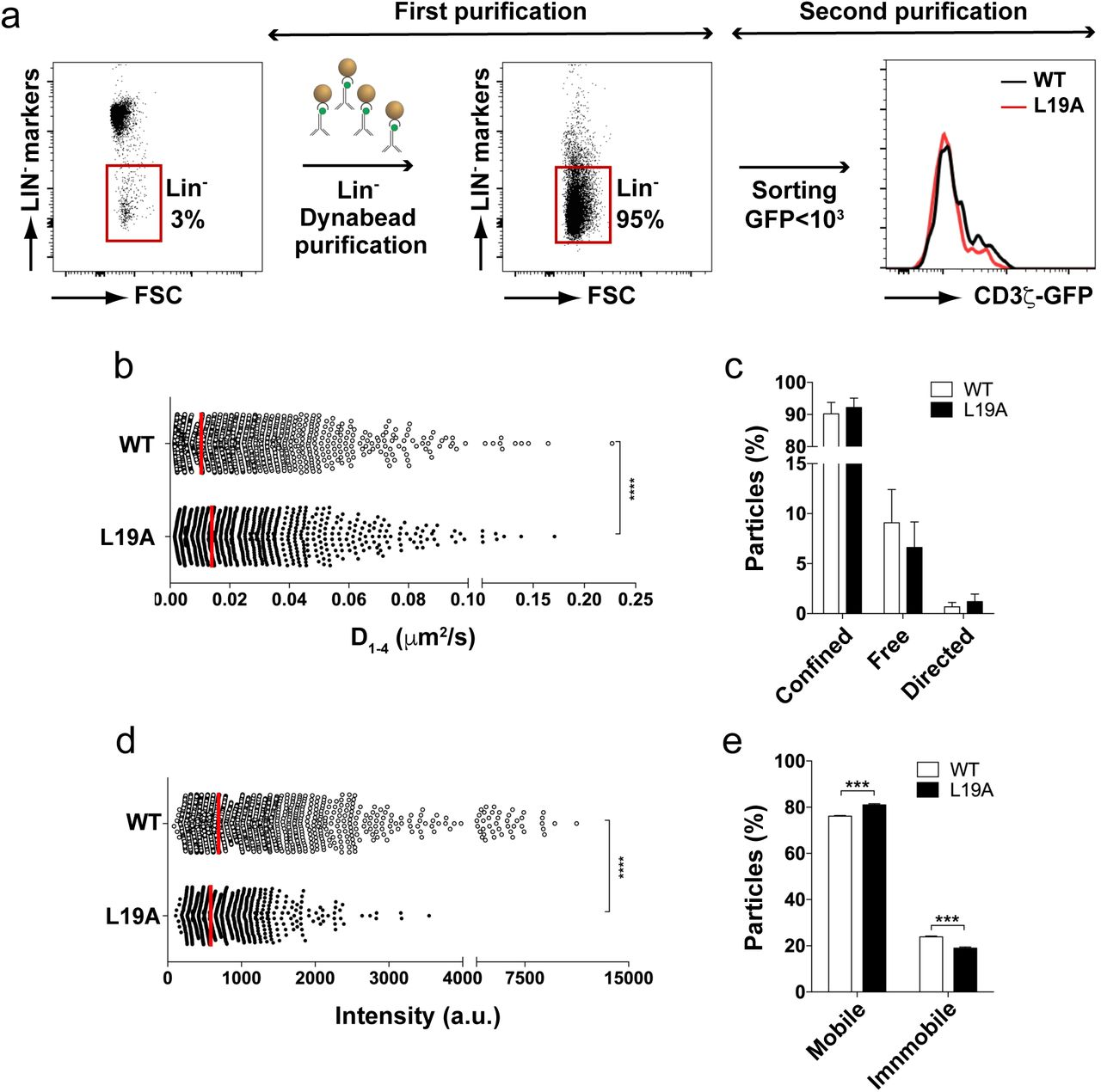 TIFRM analysis of the pre-TCR on CD44 - primary thymocytes. (a) Purification strategy of DN CD44 - thymocytes through two purification steps, depleting Lin + thymocytes from pools of three thymi of each transgenic mouse line, followed by sorting CD44 - LIN - cells with a cut-off of GFP fluorescence intensity of 10 3 relative units. (b) Median of the short time-lag diffusion coefficient (D 1-4 ) of the mobile particles detected in the analysis. (c) Quantification of the percentage (mean ± SEM) of mobile particles for confined, free and directed diffusion tracks (d) Quantification of the mean fluorescent intensity of each spot during the first 20 frames in which the particles are visible. Each dot in the graph presents single CD3ζ-GFP spot (e) Percentage (mean ± SEM) of mobile and immobile particles in the WT and L19A samples. Pooled data were obtained in 4 independent experiments encompassing on average 19.1 and 13.1 tracked particles per cell for 131 WT cells (range 20 - 57 cells/experiment) and 110 L19A cells (range 13 - 40 cells /experiment), respectively. P-values were calculated using an unpaired two-tailed Student's t test with 95% CI (***p