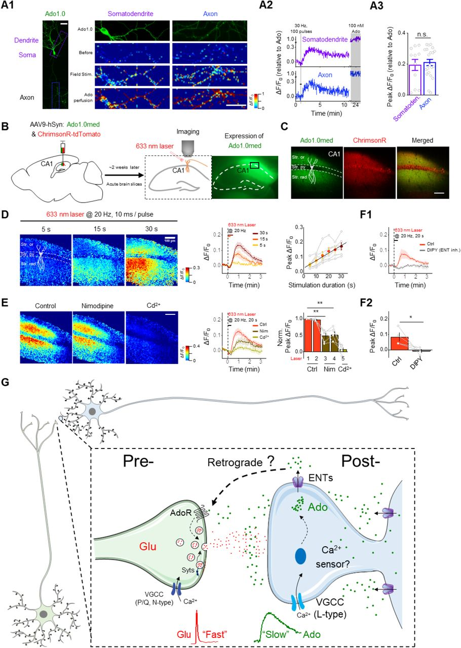 GRAB Ado sensors reveal somatodendritic Ado release in hippocampal slices. (A1) Left panel: sparse expression of Ado1.0 in cultured hippocampal pyramidal neurons. Right panel: fluorescence images and pseudocolor images of Ado1.0 ΔF/F 0 in the somatodendritic (purple box) and axonal (blue box) compartments in response to field stimuli (30 Hz, 100 pulses), high K + , or Ado (100 nM); scale bar, 50 μm. Example traces and summary data are shown in (A2) and (A3) , respectively; n = 11-21 ROIs from 4 coverslips per group. (B) Schematic illustration depicting the strategy used to image acute hippocampal brain slices prepared from mice expressing Ado1.0med and tdTomato-ChrimsonR in the <t>CA1</t> region while using a 633-nm laser to activate the neurons. At the right is an image showing Ado1.0med fluorescence; the box shows the region magnified in (C) . (C) Magnified fluorescence images of the CA1 region showing Ado1.0med (green) and tdTomato-ChrimsonR (red) in CA1 regions (scale bar, 100 μm). The pyramidal cell layer (Str. py) is located between the stratum oriens (Str. ori) and stratum <t>radiatum</t> (Str. rad). (D) Pseudocolor images (left), averaged traces (middle), and group summary (right) of Ado1.0med ΔF/F 0 in response to 633-nm laser pulses applied at 20 Hz for the indicated duration (scale bar, 100 μm); the solid line shown in the right panel a linear fit to the data; n = 6 slices from 4 mice. (E) Blocking L-type VGCCs inhibits optogenetically induced Ado release. Where indicated, nimodipine (Nim, 20 μM) and Cd 2+ (100 μM) were applied (scale bar, 100 μm); n = 5 slices from 3 mice. (F) Blocking ENT transporters inhibits optogenetically induced Ado release. Where indicated, dipyridamole (DIPY, 20 μM) was used to block ENTs. Averaged traces (F1) and the group summary (F2) of Ado1.0med ΔF/F 0 are shown; n = 4 slices from 3 mice. (G) Model depicting the novel mode of neuronal activity–dependent Ado release from hippocampal neurons. Ado is released slowly from the pos