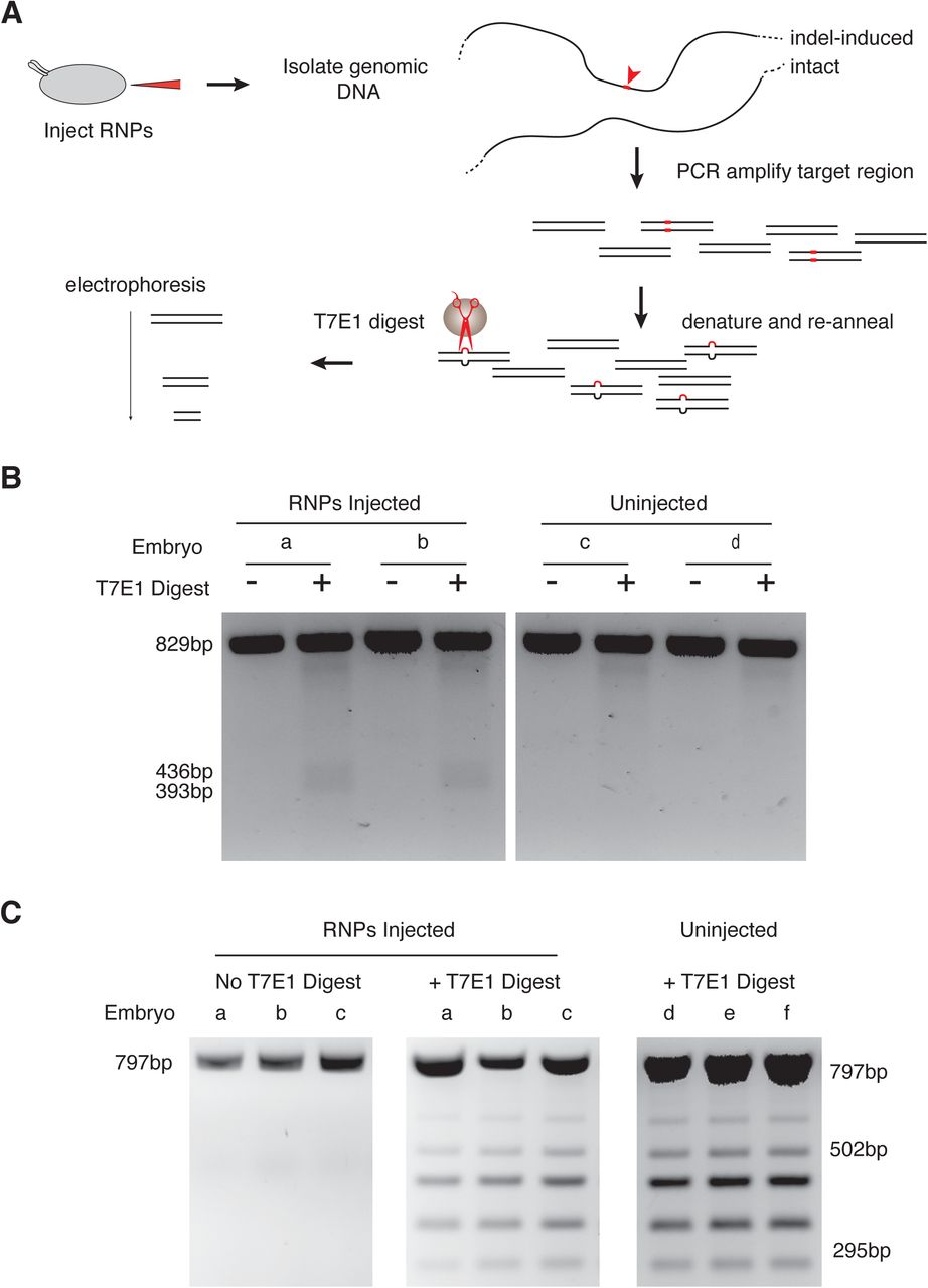 Screening sgRNAs for cleavage activity in vivo. ( A ) Schematic of the screening assay. Individual embryos are injected with RNPs composed of a particular sgRNA. Genomic <t>DNA</t> from each embryo is <t>PCR-amplified,</t> and amplicons are denatured and re-annealed. Heteroduplexes with mismatches due to indels in embryonic DNA are cleaved by T7E1 enzyme. Gel electrophoresis identifies embryos with detectable cleavage events. ( B ) PCR products of a target site in the forked gene 892 bp in length were digested by T7E1 as indicated. Shown are two representative embryos out of the nine assayed that were injected with forked RNPs. Also shown are two out of the six embryos that were uninjected. The predicted T7E1 digest products are 393 and 436 bp. Although a minority of heteroduplexes derived from an embryo are T7E1-sensitive, they can be detected by this assay. ( C ) A T7E1 assay performed on a sgRNA that was inactive in vivo. The target region is located in non-coding DNA. Three of the 12 RNP-injected embryo samples are shown, and three of the six uninjected embryo samples are shown. Heteroduplexes from the uninjected samples show T7E1 sensitivity that is likely due to sequence polymorphisms or non-B form DNA structures. The predicted T7E1 digest products from NHEJ induced mismatches are 295 and 502 bp. Note that samples from RNP-injected embryos do not exhibit T7E1 products of those sizes.