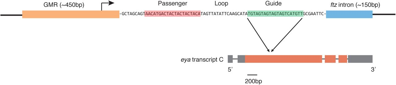The modified plasmid backbone for HDR editing. Shown is the transgenic marker for counterselection of imprecise HDR events. The GMR element contains 5 tandem binding sites for the transcription factor Glass fused to the Hsp70 minimal promoter. The transcript contains a shRNA stem-loop followed by an intron from the ftz gene to facilitate transcript stability. After the shRNA is processed by Drosha and Dicer, the guide RNA strand is loaded into RISC. The guide RNA is perfectly complementary to all mRNA isoforms of eya . Shown only is isoform C, and the location of the RNAi target is indicated.