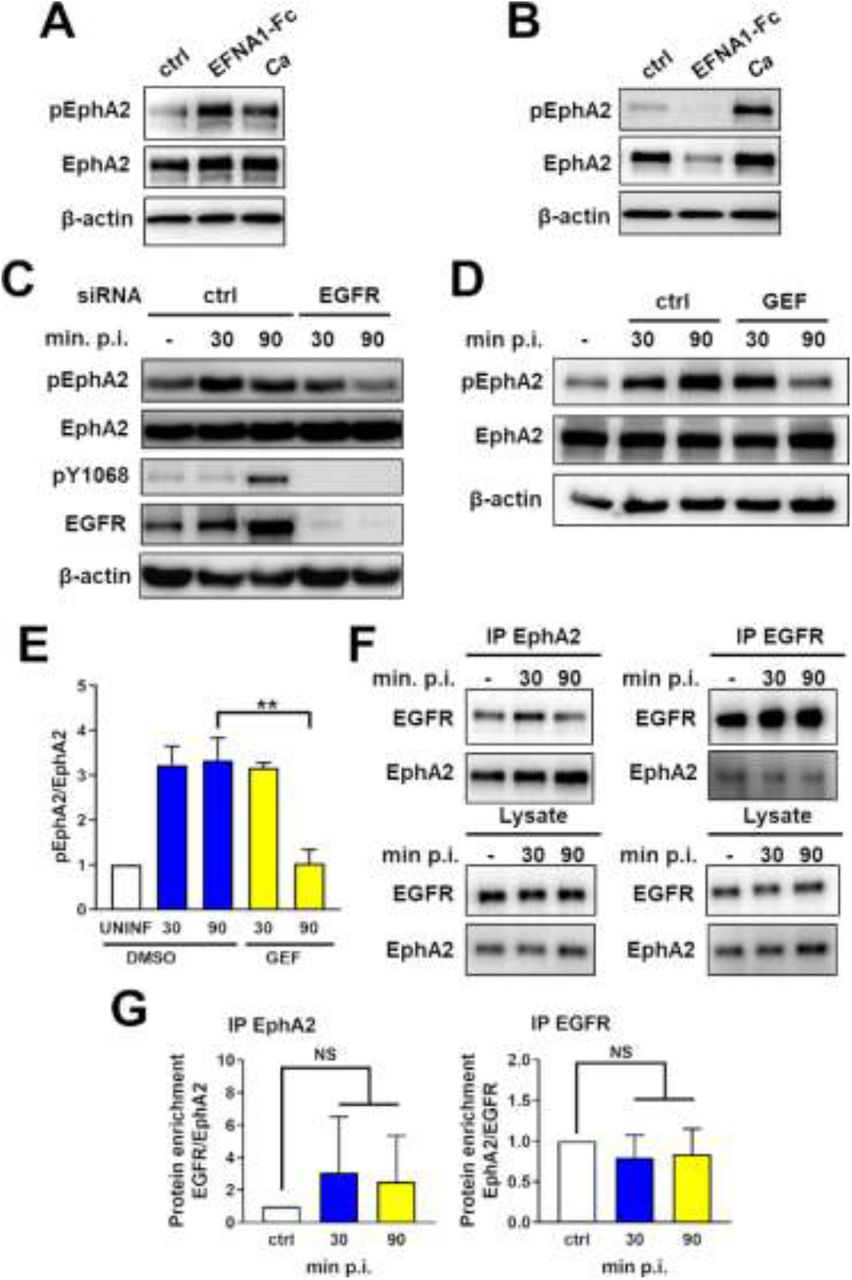 EGFR activity is required for sustained EphA2 phosphorylation. (A and B) Immunoblots showing effects of ephrin A1-Fc (EFNA1-Fc) or yeast-phase C. albicans SC5314 (Ca) on the phosphorylation of ephrin type-A receptor 2 (EphA2) in OKF6/TERT-2 oral epithelial cells after stimulation for 15 min (A) and 60 min (B) post-infection (p. i.). Results are representative of 3 independent experiments. Densitometric quantification of all 3 immunoblots is shown in S1 Fig. (C and D) Effects of epidermal growth factor (EGFR) siRNA (C) and the EGFR kinase inhibitor gefitinib (GEF) (D) on the time course of EphA2 and EGFR phosphorylation in oral epithelial cells infected with C. albicans . Results are representative of 3 independent experiments. Densitometric quantification of all 3 immunoblots such as the one in Fig. 1C is shown in S1 Fig. (E) Densitometric quantification of all 3 immunoblots such as the one in Fig. 3D . (F) Lysates of oral epithelial cells infected with C. albicans for 30 and 90 min were immunoprecipitated (IP) with antibodies against EphA2 (left) and EGFR (right), after which EphA2 and EGFR were detected by immunoblotting (Top). Immunoblots of lysates prior to immunoprecipitation, demonstrating equal amounts of input protein (Bottom). (G) Densitometric analysis of 3 independent immunoblots such as the ones shown in (F). Results are mean ± SD. Statistical significance relative to uninfected control cells was analyzed by the Student's t test assuming unequal variances. **, p