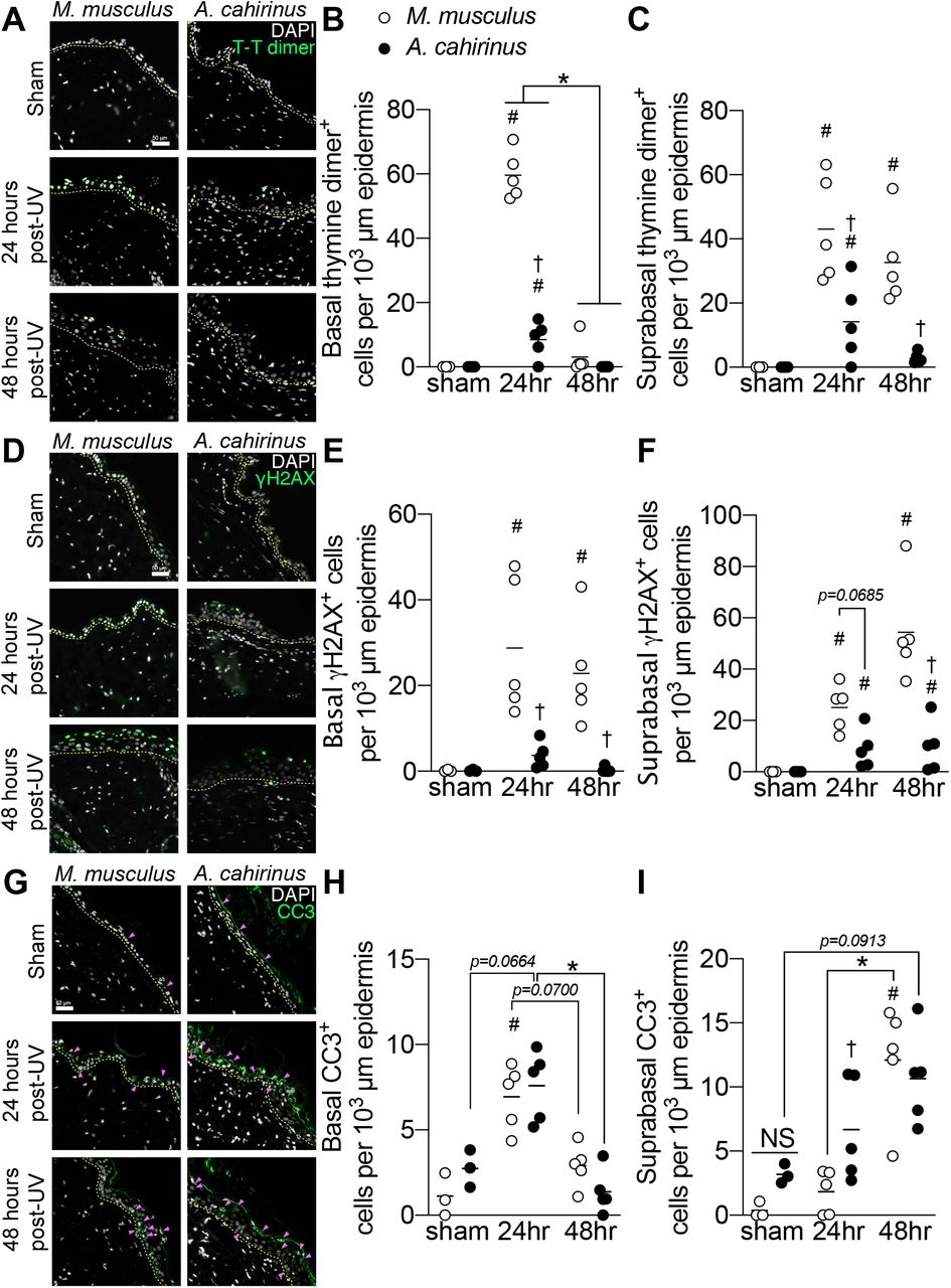 Efficient removal of damaged and dying skin epidermal cells through rapid turnover and apoptosis in acute UVB-exposed A. cahirinus . A , representative immunofluorescence images of epidermal thymine dimer ( T-T dimer ) labeling of skin from control ( sham ) and UV-irradiated M. musculus and A. cahirinus , collected 24 and 48 hours after exposure. B and C , quantification of thymine dimer labeling in ( B ) basal epidermis and ( C ) suprabasal epidermis. D , representative immunofluorescence images of epidermal γH2AX labeling . E and F , quantification γH2AX labeling in ( D ) basal epidermis and ( E ) suprabasal epidermis. G , representative immunofluorescence images of epidermal cleaved caspase-3 ( CC3) labeling. Positive cells are indicated by the pink arrows. H and I , quantification of cleaved caspase-3 labeling in ( H ) basal and ( I) suprabasal epidermis. Data points are biological replicates. Lines indicate group means. *, significantly different from the indicated group ( p