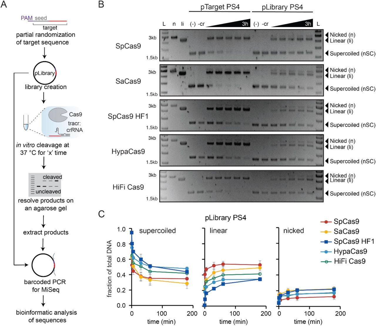 High-throughput in vitro analysis of Cas9 mismatch tolerance. (A) Outline and workflow of the high-throughput in vitro cleavage assay. (B) Representative agarose gel showing time course cleavage of negatively supercoiled (nSC) plasmid containing a fully matched PS4 target (pTarget PS4, left) and plasmid library PS4 (pLibrary PS4, right) by Cas9 variants, resulting in linear (li) and/or nicked (n) products. Time points at which the samples were collected are 1 min, 5 min, 30 min, 1 h, and 3 h. All controls were performed under the same conditions as the longest time point for the experimental samples. Controls: (−) = pTarget or pLibrary alone incubated at 37 °C for the longest time point in the assay (3 h); (-r) = pTarget or pLibrary incubated with Cas9 only at 37 °C for the longest time point in the assay (3 h); n = Nt.BspQI nicked pUC19; li = BsaI-HF linearized pUC19 (C) Overall cleavage of the pLibrary PS4 by Cas9 indicating the decrease in supercoiled (nSC) pool and appearance of nicked (n) and linear (li) pools over time. The 0 time point is the quantification of the negative control pLibrary (i.e. pLibrary run on a gel after preparation as represented in Fig. S2A). Values plotted represent an average of two replicates. Error bars are SEM.