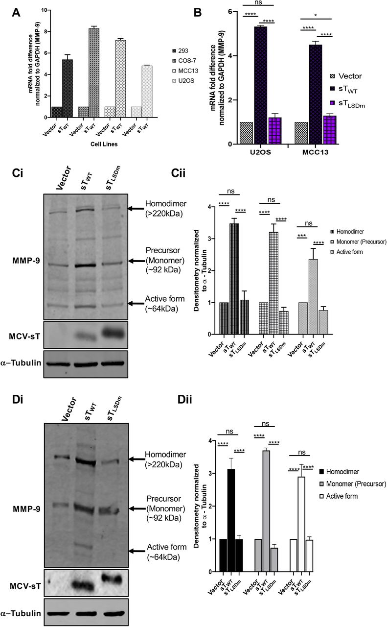 MCV sT activates Matrix metalloproteinase 9 (MMP-9). (A) MCV sT expression results in upregulation of MMP-9 mRNA levels. Various cell lines (293, COS-7, MCC13 and U2OS) were transfected with either empty vector or MCV sT WT expressing plasmids to measure MMP-9 mRNA levels. After 48 h, total RNA was isolated and analyzed by RT-qPCR. (B) MCV sT upregulates MMP-9 transcription through the LSD. U2OS and MCC13 cells transfected with empty vector control, MCV sT WT and MCV sT LSDm expressing plasmids. Transcript levels of MMP-9 were analyzed using the comparative ΔΔCt method. (n = 3). Differences between means ( p value) were analyzed using a t-test with GraphPad Prism software. (C) MCV sT upregulates MMP-9 protein expression through the LSD. U2OS cells were transfected with empty vector, sT WT and sT LSDm expression plasmids. After 48 h, immunoblot analysis was performed to analyze expression of MMP-9, sT and α-tubulin (Ci). Densitometry quantification of immunoblots was carried out using the Image studio software and is shown as a fold change relative to the loading control α-tubulin (Cii). Data analyzed using three biological replicates per experiment (n = 3). (D) MCV sT reproducibly activates MMP-9 expression in MCC13.