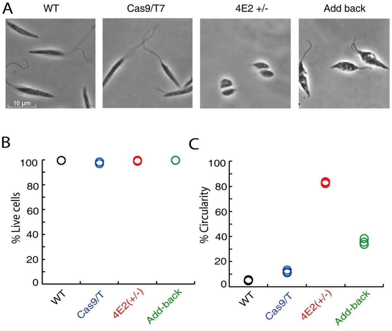 The LeishIF4E2(+/-) deletion mutant shows altered promastigote morphology. (A) Mid-log phase (Day 2) promastigotes of wild type, Cas9/T7 expressers, LeishIF4E2(+/-) cells, and LeishIF4E2 add-back cells were fixed with 2% paraformaldehyde and visualized by phase contrast microscopy at 100x magnification. Wild type (WT), Cas9/T7 expressing cells showed normal promastigote morphology while LeishIF4E2(+/-) became round with reduced flagellar length. This altered phenotype was reverted back to normal in LeishIF4E2 add-back cells. (B) All the cell lines were stained with 20 µg/mL <t>propidium</t> iodide (PI) for 30 minutes and cell viability was analyzed using the ImageStream X Mark II Imaging flow cytometer (Millipore). 20,000 cells were analyzed for each sample and percent viable cells were determined. (C) .The circularity of single, viable and focused cells from each of the cell lines was quantified using flow cytometry and shown as percentage of the total number of cells measured. Data from three independent experiments are shown.