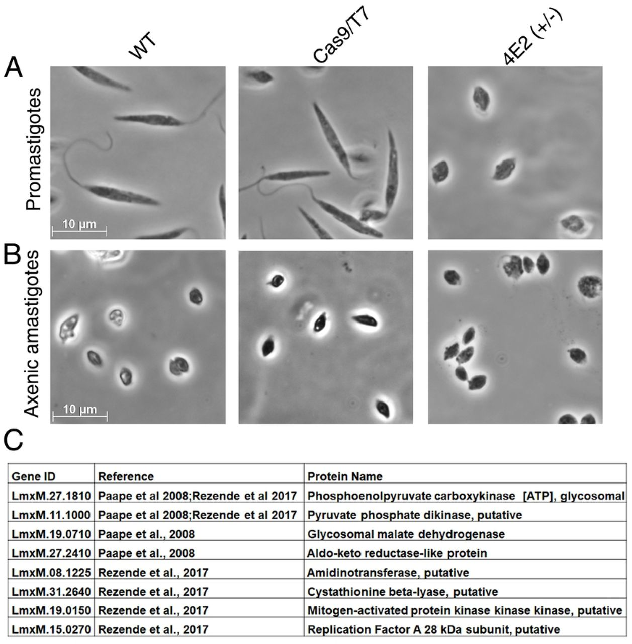 LeishIF4E2(+/-) mutant cells easily transform to axenic amastigote-like cells. (A) Promastigotes of the LeishIF4E2(+/-) mutant, control wild type, and Cas9/T7 expressing cells grown under normal conditions are shown. (B) Morphology of cells transferred to conditions that induce differentiation to axenic-amastigotes (33°C/pH 5.5) during four days. Images were captured at100x magnification with a Zeiss Axiovert 200M microscope equipped with AxioCam HRm CCD camera. The scale bar is 10 µm. (C) Upregulated proteins in the mutant LeishIF4E2(+/-) promastigotes (compared to WT cells) and in published amastigotes proteome. The total protein of the LeishIF4E2(+/-) mutant promastigotes was compared to the proteome of WT cells. The list of upregulated proteins was further compared with the proteins enriched in the amastigote proteome of virulent L. amazonensis PH8 strain (de Rezende et al, PLOS NTD 2017). and of L. mexicana amastigotes (Paape et al, Mol Cell Prot 2008).