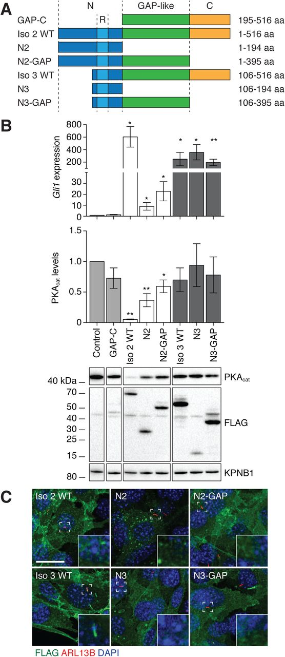 N-terminal, GAP-like, and C-terminal domains have opposing effects on ARHGAP36 function. (A) Schematic representation of ARHGAP36 isoform 2 or 3 truncation mutants. Residue numbers are based on the amino acid sequence of isoform 2. (B) Gli1 mRNA and PKAcat protein levels in NIH-3T3 cell retrovirally transduced with the indicated FLAG-tagged ARHGAP36 truncation mutants. Data are the average fold change relative to uninfected cells for three biological replicates ± s.e.m. Single and double asterisks indicate P