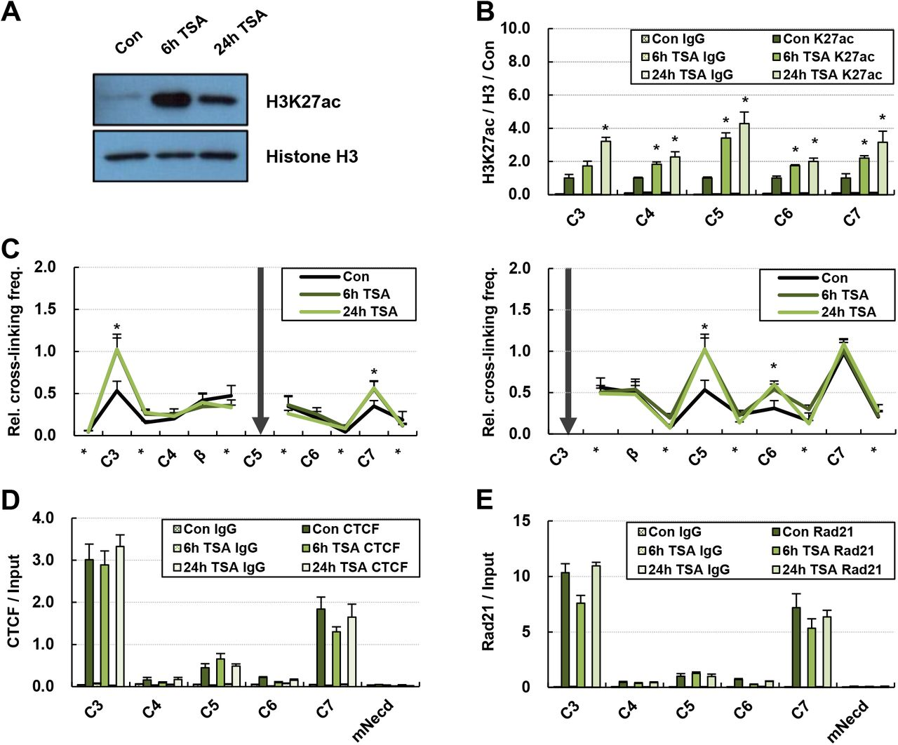 Chromatin interaction between CTCF sites around the β-globin locus in TSA treated MEL/ch11 cells. (A) MEL/ch11 cells were treated with 25 ng/ml of TSA for 6 h or 24 h. Histone H3 acetylated at K27 was detected by Western blotting in nuclear extract from control cells (Con) and cells treated with TSA. Histone H3 was used as an experimental control. (B) H3K27ac was determined in CTCF sites around the β-globin locus by ChIP. DNA immunoprecipitated by H3K27ac antibodies were quantitatively compared with DNA immunoprecipitated by H3, and then normalized to value in control cells. Normal IgG (IgG) was used as an experimental negative control. (C) Relative cross-linking frequencies was determined between CTCF sites around the β-globin locus in 3C assay as described in Fig 1E . Fragments containing C5 and C3 were used as anchors. Occupancies of CTCF (D) and Rad21 (E) were determined at the CTCF sites by ChIP. Results are presented as the means ± SEM of four to six independent experiments in ChIP and 3C assay. *P