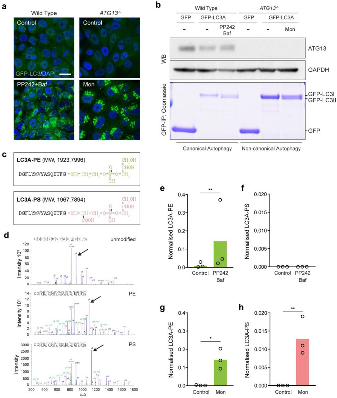 Pharmacological activation of non-canonical autophagy promotes ATG8-PS lipidation in cells. Wild type MCF10A GFP-LC3A cells were treated with 1 μM PP242/100 nM BafA1 for 60 mins. ATG13 -/- cells were treated with 100 μM monensin (Mon) for 40mins. a , Confocal images of GFP-LC3A and DAPI. Scale bar: 20 μm. b , Western blotting for ATG13 or GAPDH, GFP-IPs were visualised by Coomassie staining. c , C-terminal peptides of LC3A conjugated to either the PE or PS headgroup. Predicted MWs are indicated. d , Representative CID mass spectra of unmodified, PE or PS modified LC3A peptides. y-ions (C-terminal) undergo monoisotopic mass shift upon modification: 197.05, glycerophosphoethanolamine (from PE); 241.04, glycerophosphoserine (from PS); y8 peaks are highlighted (arrow heads) as examples. Some y-ions give a secondary fragment consistent with neutral loss of phosphoglycerol (172). As expected, b-ions (N-terminal) do not shift. b14 is characteristically absent from the unmodified peptide, but can be observed in the modified peptides, along with b* (cleavage between Gly and the head group), confirming the C-terminal amide linked modification. e-h , Normalized mass spectrometry analysis of LC3-PE and LC3A-PS in WT e, f , and ATG13 -/- g, h , cells. Data represent means from 3 independent experiments, **p