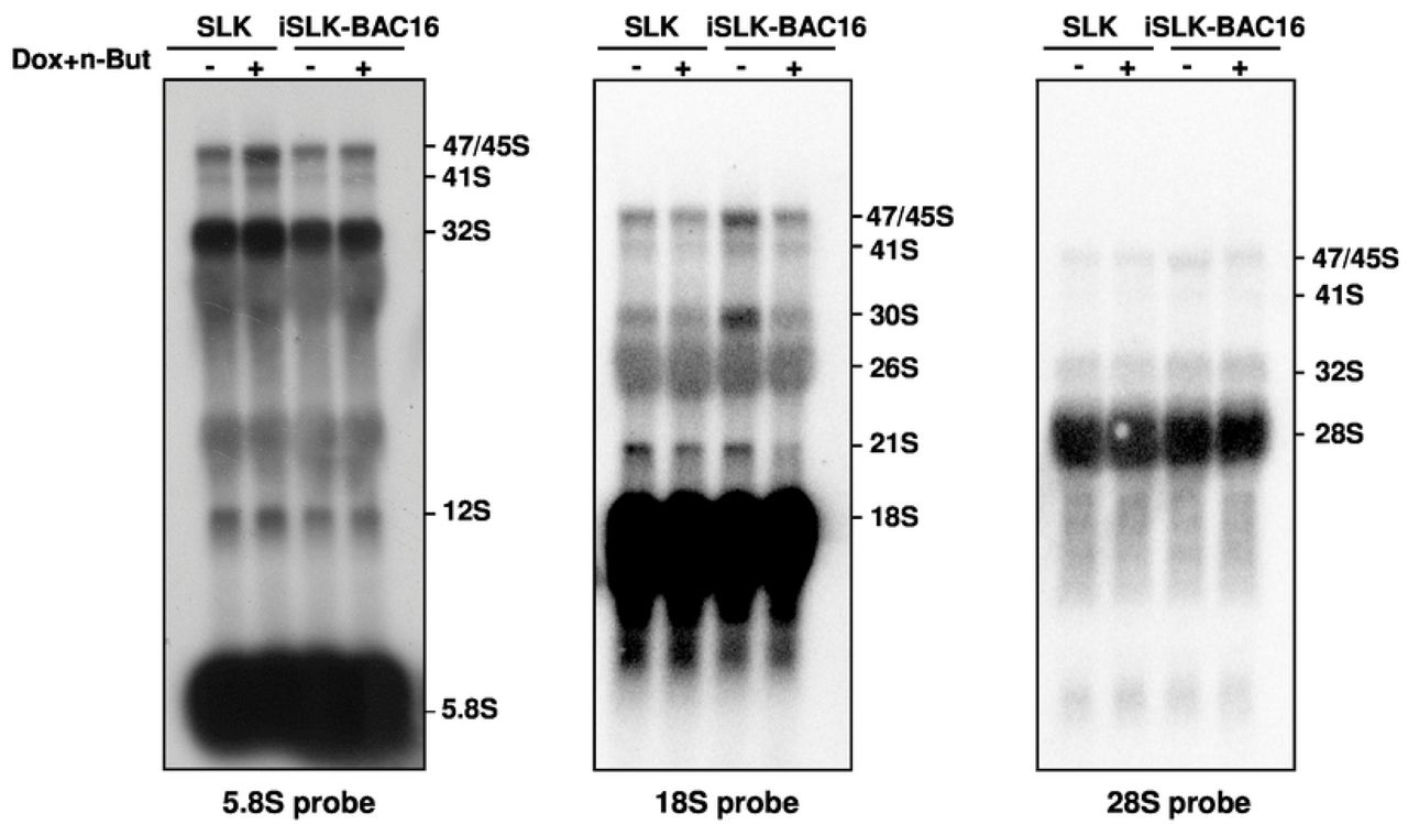 Northern blot analysis of rRNA during viral lytic reactivation. Total RNA was extracted from uninfected SLK and BAC16-mCherry-ORF45-infected iSLK cells that were either left untreated or treated with Dox and n-Butyrate for 48-hr. Lytic reactivation was confirmed by expression of mCherry-ORF45 in ∼80% of cells. 20 µg RNA from each sample was resolved on denaturing 1.2% agarose gel, transferred to nylon membranes, and hybridized with probes representing 5.8S, 18S and 28S rRNA. No accumulation of pre-rRNA processing products was evident upon lytic reactivation.