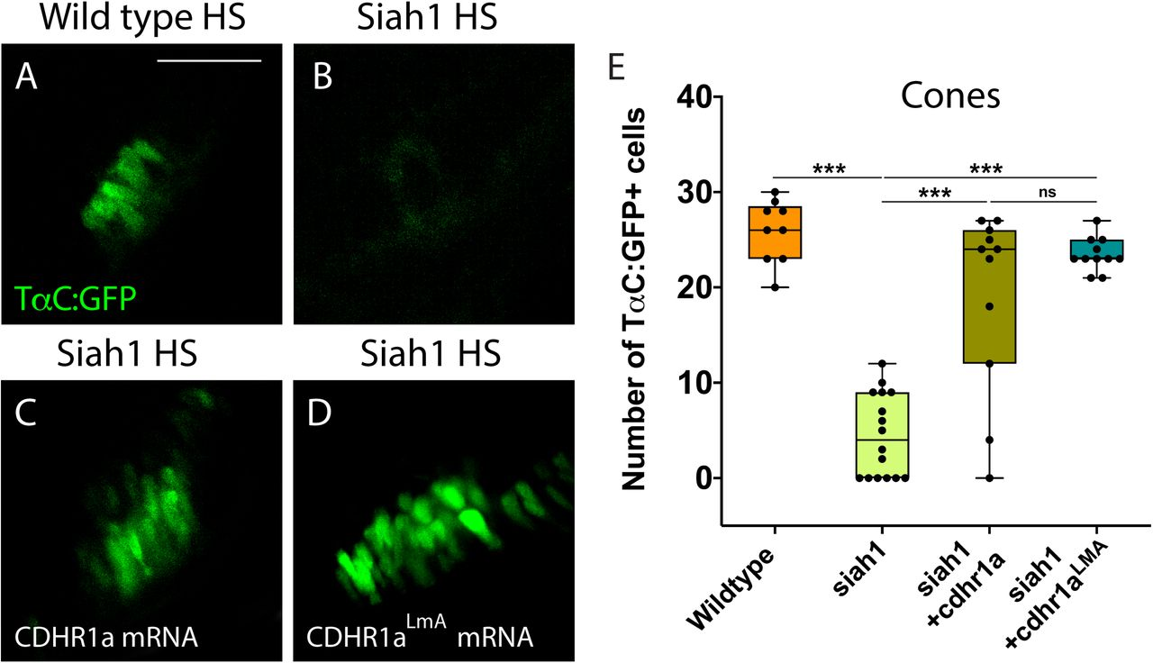 Cone photoreceptor development relies on sufficient levels of Cdhr1a. Confocal stacks of heat shocked (HS) Tg[ TαC :GFP] (wildtype) and Tg[ hsp70 :siah1]/Tg[ TαC :GFP] (siah1) embryos or those injected with cdhr1a mRNA or cdhr1a LMA mRNA were analyzed in 3D for GFP fluorescence ( A-D ). Injection of both wildtype and the LMA variant of cdhr1a mRNA resulted in numbers of GFP+ cone cells comparable to that of wildtype ( E ). Scale bar = 50 μm.