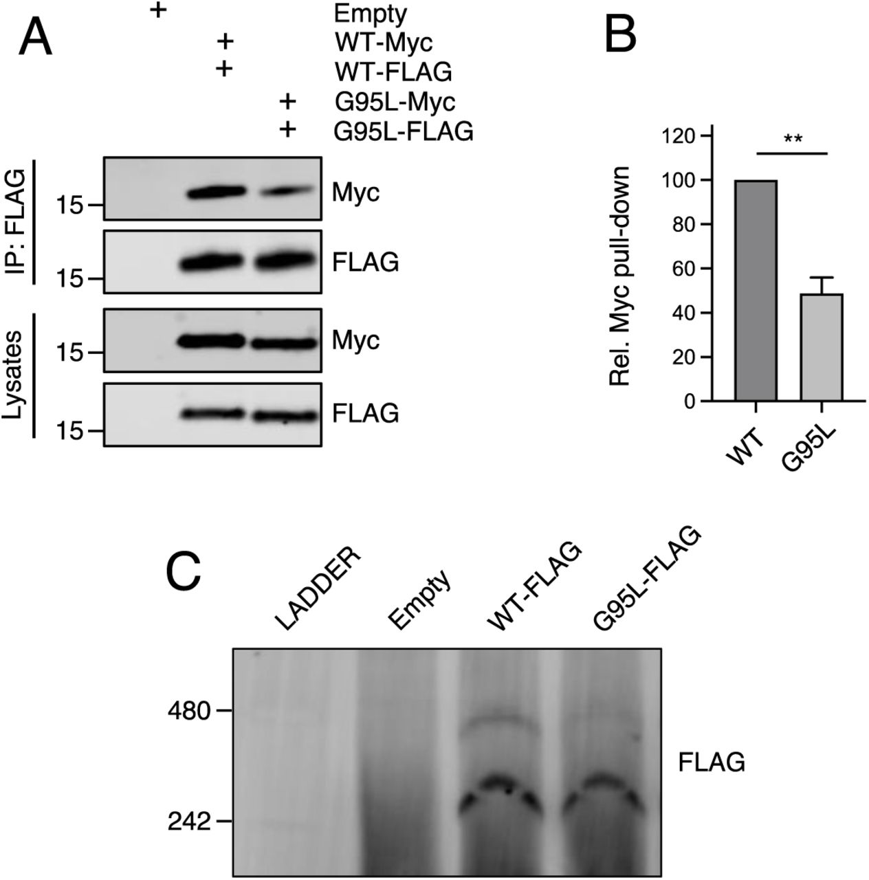 glycine-95 regulates oligomerization of IFITM3 in bulk cell lysates. (A) HEK293T were transiently transfected with empty pQCXIP or the following pairs: IFITM3-FLAG and IFITM3-myc or G95L-FLAG and G95L-myc. Whole cell lysates were produced under mildly denaturing conditions and immunoprecipitation (IP) using anti-FLAG antibody was performed. IP fractions and volumes of whole cell lysates were subjected to SDS-PAGE and Western blot analysis. Immunoblotting was performed with anti-FLAG and anti-myc. Number and tick marks indicate size (kilodaltons) and position of protein standards in ladder. (B) Levels of IFITM3-myc (either WT or G95L) co-immunoprecipitated by anti-FLAG IP were quantified from conditions in (A). Results represent the mean of three independent experiments. Error bars indicate standard error. (C) HEK293T were transiently transfected with empty pQCXIP, WT IFITM3-FLAG or G95L-FLAG. Cell lysates were produced with 1% digitonin and blue native PAGE was performed, followed by immunoblotting with anti-FLAG. Number and tick marks indicate size (kilodaltons) and position of protein standards in ladder. Statistical analysis was performed using student's T test. *, P