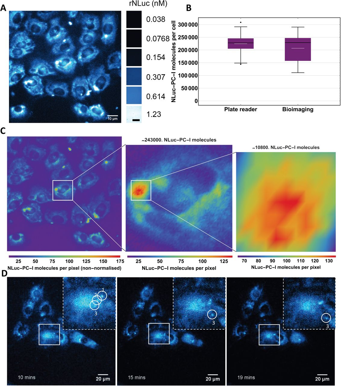 Heatmaps of 96-well plates seeded with different numbers of nluc::Col1a2 cells. The colour scale (right) indicates the number of counts in each well. Three plates were compared, clear (A) , black (B) and white (C) . Cells were seed in triplicate as indicated. A) In clear plates the spill over of luminescence could be observed with large numbers of cells, indicated by significant luminescence being recorded in empty wells neighbouring wells containing cells. B) Black plates limited spill over of signal between wells but also suppressed luminescence in the wells. C) White plates limited spill over but also enhanced sensitivity of detection.