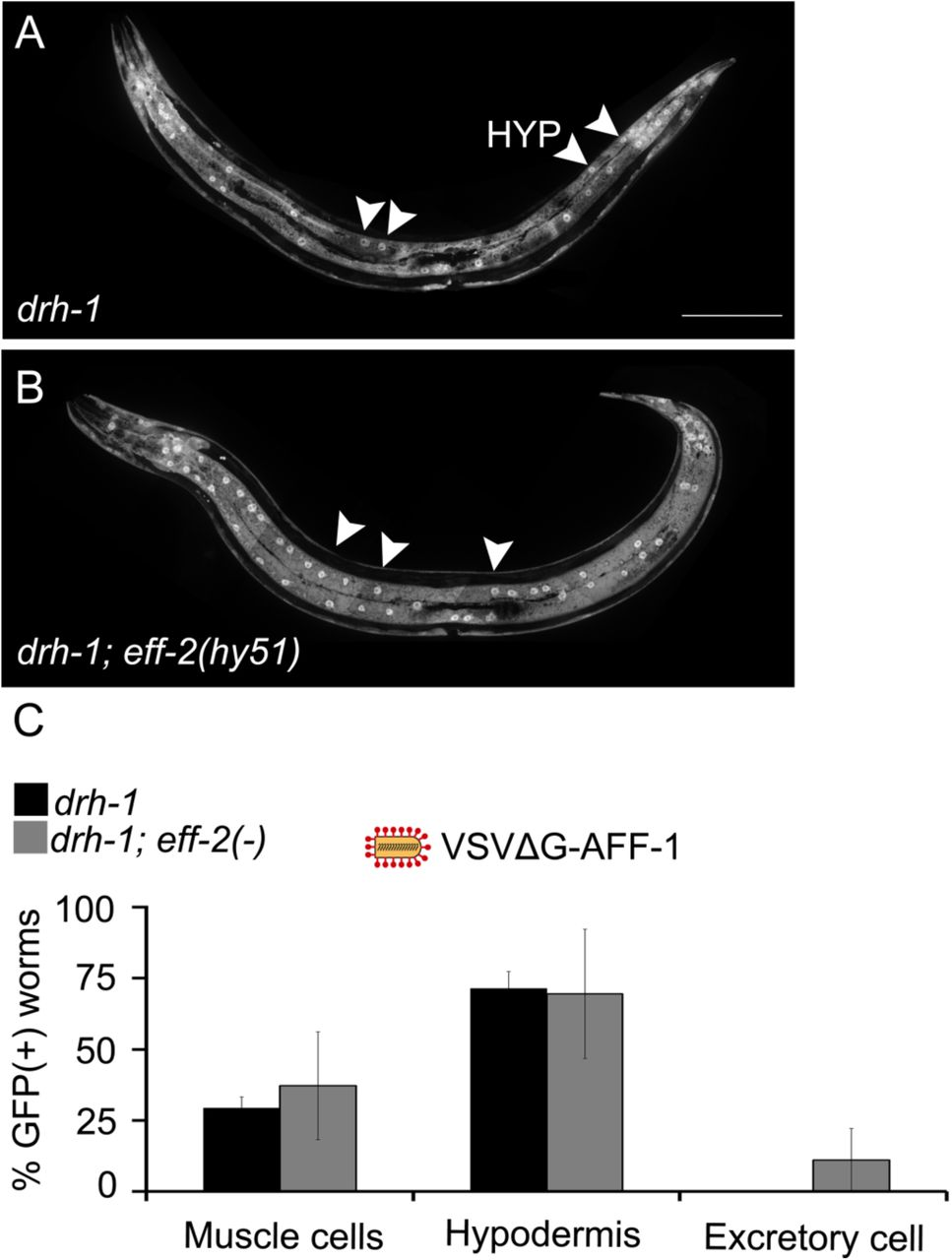 VSVΔG-AFF-1 does not infect PVD and other sensory neurons ectopically expressing AFF-1/EFF-1 (A-C) SDC microscope Z-stack projections of animals infected with 82-103 IU VSVΔG-AFF-1 (red pins). (For genotypes and quantitation see Table S2 ). Scale bar, 100 µm. (A) Young adult expressing mCherry in PVD. (B) eff-1(ts) adult expressing AFF-1 in PVD. (C) eff-1(ts) adult expressing EFF-1 and dsRed in 12 sensory neurons. See also Table S2 and Movie S2 .