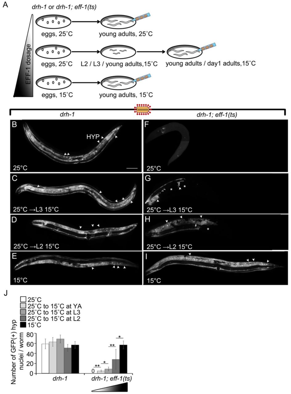 EFF-1 expression in BWMs produces Unc+Dpy worms with multinucleated cells (A-H) Images of fluorescent Z-stack projections and respective DIC of animals with extrachromosomal myo-3p ::EFF-1, myo-3p ::mCherry. (G) White arrowhead, bridge formed between 2 BWMs from opposing quadrants. Yellow arrows, myo-3p ::mCherry accumulations also in DIC (H). Asterisks, clustered nuclei within one BWM. Scale bars, 100 µm. (I) Number of nuclei per myo-3p ::mCherry (+) BWM cell in L2s. wt-like (n=12); Unc+Dpy (n=15). Each dot represents the average number of nuclei/BWM cell/worm. Total average ± SEM for each phenotype. Two tailed Student's t-test p