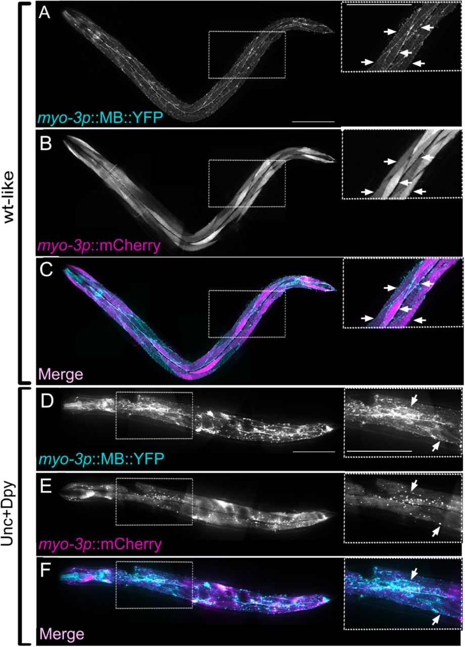 Retargeting of VSVΔG-AFF-1 to body wall muscle cells Wild-type worms and animals with extrachromosomal array containing myo-3p:: EFF-1 and myo-3p:: mCherry were injected with VSVΔG-AFF-1 (35-63 IU, red pins; n=39 wt, n=50 wt-like and n=27 Unc+Dpy worms) or VSVΔG-G (3*10 5 IU, white pins; n=30 wt-like and 14 Unc+Dpy) respectively. Wt worms injected with VSVΔG-G (2300-4700 IU, n=56) were taken from figure 2I . Animals were analysed by SDC microscopy. Data represents average percentage of worms with GFP(+) BWMs ± SEM. Student's t-test: *p
