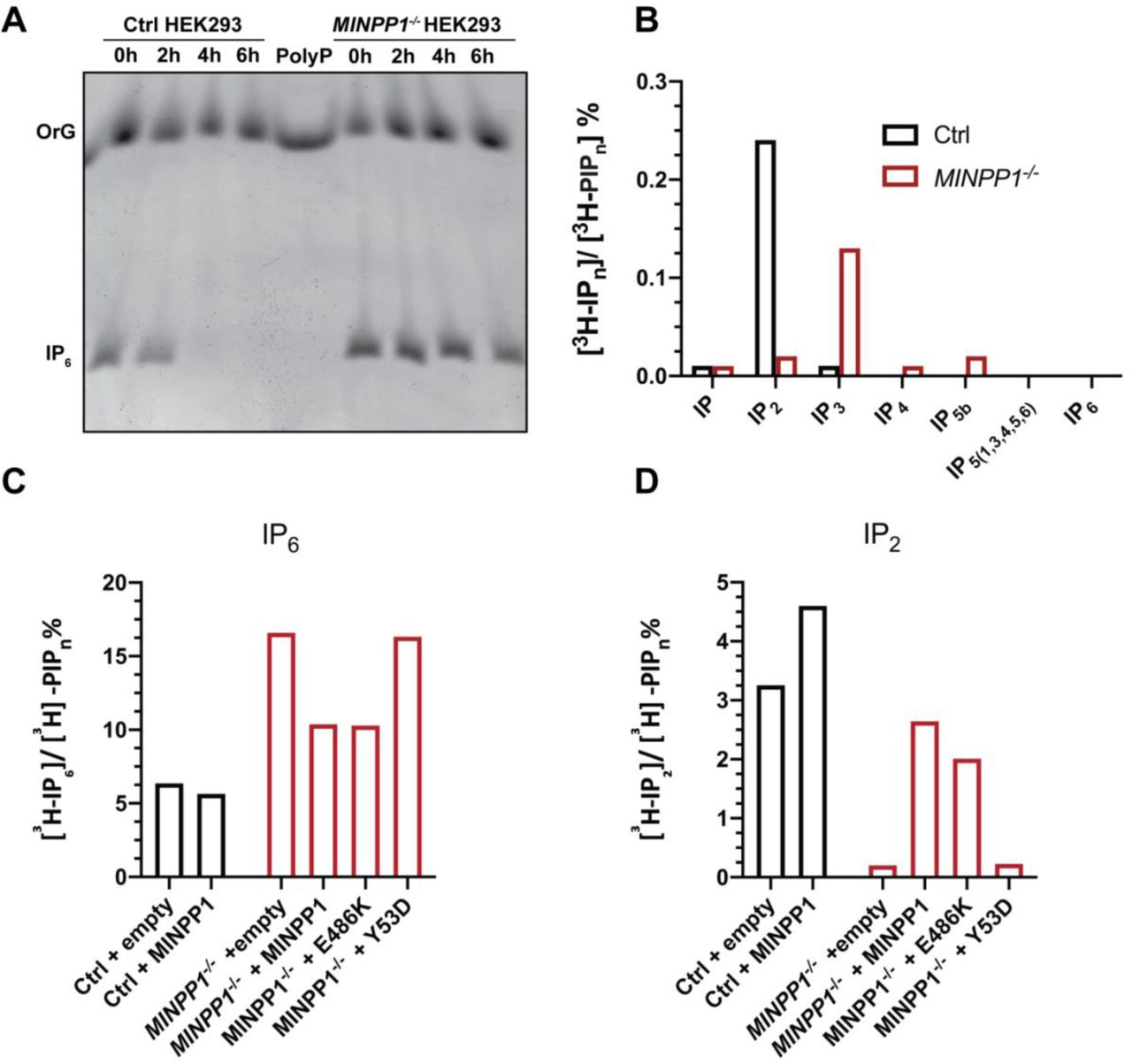 Phytase activity and SAX-HPLC analysis of extracellular and intracellular inositol phosphate levels. ( A )MINPP1 phytase activity in conditioned medium of MINPP1 -/- HEK293 cells upon addition of 4 nmol of IP 6 and incubation at 37°C for the time period indicated above. The samples were then mixed with Orange G (OrG) loading dye and resolved by PAGE followed by toluidine blue staining. Gel image representative of two independent experiments. Polyphosphate (PolyP) is shown as size ladder. ( B ) SAX-HPLC analysis of inositol phosphate levels in cell culture media of [ 3 H]-inositol labeled control and MINPP1 -/- HEK293 cells. (C-D) SAX-HPLC analysis of IP 2 and IP 6 levels in control and MINPP1 -/- HEK293 cells transiently transfected with plasmids encoding empty vector, wildtype, Y53D or E486K variant MINPP1. The data is representative of two independent experiments. [ 3 H]-IP n levels are presented as percentage of total radioactivity in the inositol-lipid fraction ([ 3 H]-PIP n ). Abbreviations used: IPn, inositol phosphates; PIPn, phosphatidyl inositol phosphates.