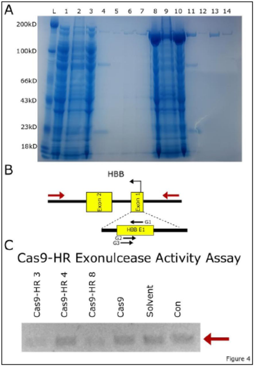 Enzymatically active Cas9-HRs can be purified from E. Coli . (A) SDS-PAGE gel showing successful purification of Cas9-HR 3. Lanes 1-7 Cas9-HR 3, Lanes 8-15 Cas9. Lanes 1,8 whole lysate; 2,9 soluble fraction; 3,10 insoluble fraction; 4,11 His-purification; 5,12 Sepharose wash; 6,13 Sepharose Elution 1; 7,14 Sepharose Elution 2. (B) Diagram of HBB genomic region, with primers in red showing the amplified fragment (956bp). (C) Agarose Gel image of exonuclease activity of purified Cas9-HRs 3,4,8, Cas9, Solvent (Cas9-HR buffer), and DNA (Con). Reduction in band intensity of Cas9-HR 3 and 8 indicates exonuclease activity.