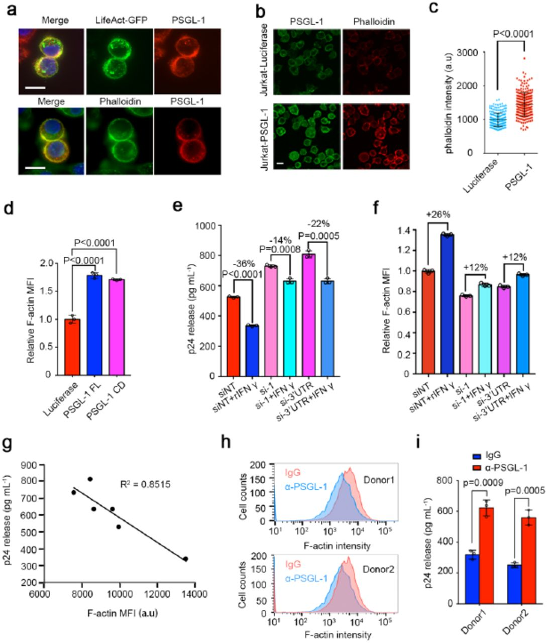 PSGL-1 stabilizes cellular F-actin to restrict HIV infection. a , Immunofluorescence staining of PSGL-1 in MAGI cells overexpressing PSGL-1 using anti-PSGL-1 antibody. Upper panel: PSGL-1 (red) colocalizes with LifeAct-GFP (green), which binds F-actin; Lower panel: PSGL-1 (red) colocalizes with phalloidin (green). Scale bar: 10 µm. b-c , Immunofluorescence staining of PSGL-1 using anti-PSGL-1 antibody (green) and phalloidin (red) in Jurkat T cells overexpressing luciferase or PSGL-1. Scale bar: 5 µm. The phalloidin intensity of cells in each group were shown in ( c ). d , Jurkat T cells overexpressing luciferase, PSGL-1 or PSGL-1 CD (cytoplasmic domain) alone were stained with phalloidin and analyzed with FACS. Relative MFIs were normalized to luciferase group. MFI: Mean Fluorescence intensity. N = 3. e-f , Activated primary CD4+ T cells were treated with IFN-γ or mock-treated for 12 h before being electroporated with two different siRNAs targeting PSGL-1 or non-targeting control siRNA (siNT) for 48 h. The cells were then either fixed for phalloidin staining and FACS quantification ( f ) or infected with HIV-1 NL4-3 for 72h before the supernatant being collected for p24 ELISA ( e ). N = 3 for ( e-f ). g , Correlation between cellular F-actin intensities and HIV-1 infection rates in ( e-f ). h-i , Activated primary CD4+ T cells from two healthy donors were incubated with PSGL-1 antibody or IgG for 2 h before being fixed for phalloidin staining ( h ) or infected with HIV-1 NL4-3 for 72 h before the supernatant being collected for p24 measurement ( i ). N = 3.