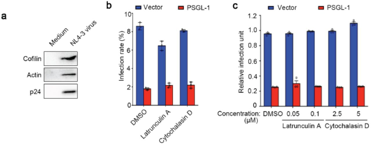 PSGL-1 stabilizes F-actin in HIV virions. a , Western blotting analysis shows nascent HIV-1 virions contain abundant cofilin and actin. b , Vpr-BlaM containing NL4-3 viruses generated from 283T cells with or without PSGL-1 overexpression were normalized with p24 ELISA. The viruses were used to infect cells treated with latrunculin A or cytochalasin D or DMSO control. The concentrations of the compounds are equal to the higher concentration of each drug in Fig.3d . Two hours after infection, the cells were incubated with β-lactamase substrate overnight before being fixed and analyzed by FACs. c , TZM-bl cells were treated with actin inhibitors latrunculin A or cytochalasin D or DMSO control at the concentration that is equal to the final concentration of each drug in the cell medium as in Fig.3e . NL4-3 viruses generated from 283T cells with or without PSGL-1 overexpression were normalized with p24 ELISA and used to infect the TZM-bl cells pretreated with the indicated compounds. Two days after infection, the infection rate was quantitated using luciferase assay.