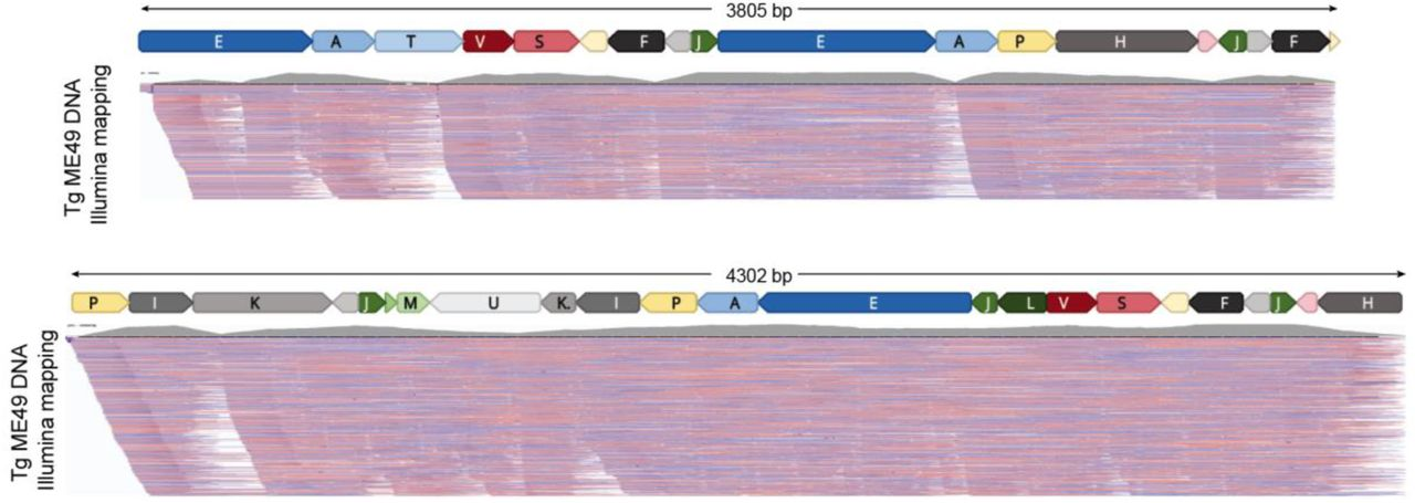 Annotated Toxoplasma gondii ME49 Nanopore mtDNA reads. Each panel represents the annotation of a single Nanopore read with SBs. There are no intervening nucleotides between SBs. The length of the read is indicated above the annotation. MtDNA-specific paired-end Illumina reads generated from T. gondii ME49 DNA (SRR9200762) were mapped to the Nanopore sequences and the alignment was visualized using the Integrated Genomics Viewer (IGV). Both Illumina read ends were required to map at 100% identity. A histogram of read abundance is shown in grey just below each annotated Nanopore read. Red and blue lines below each histogram indicate the mapped paired-end reads. Not all mapped reads are shown.