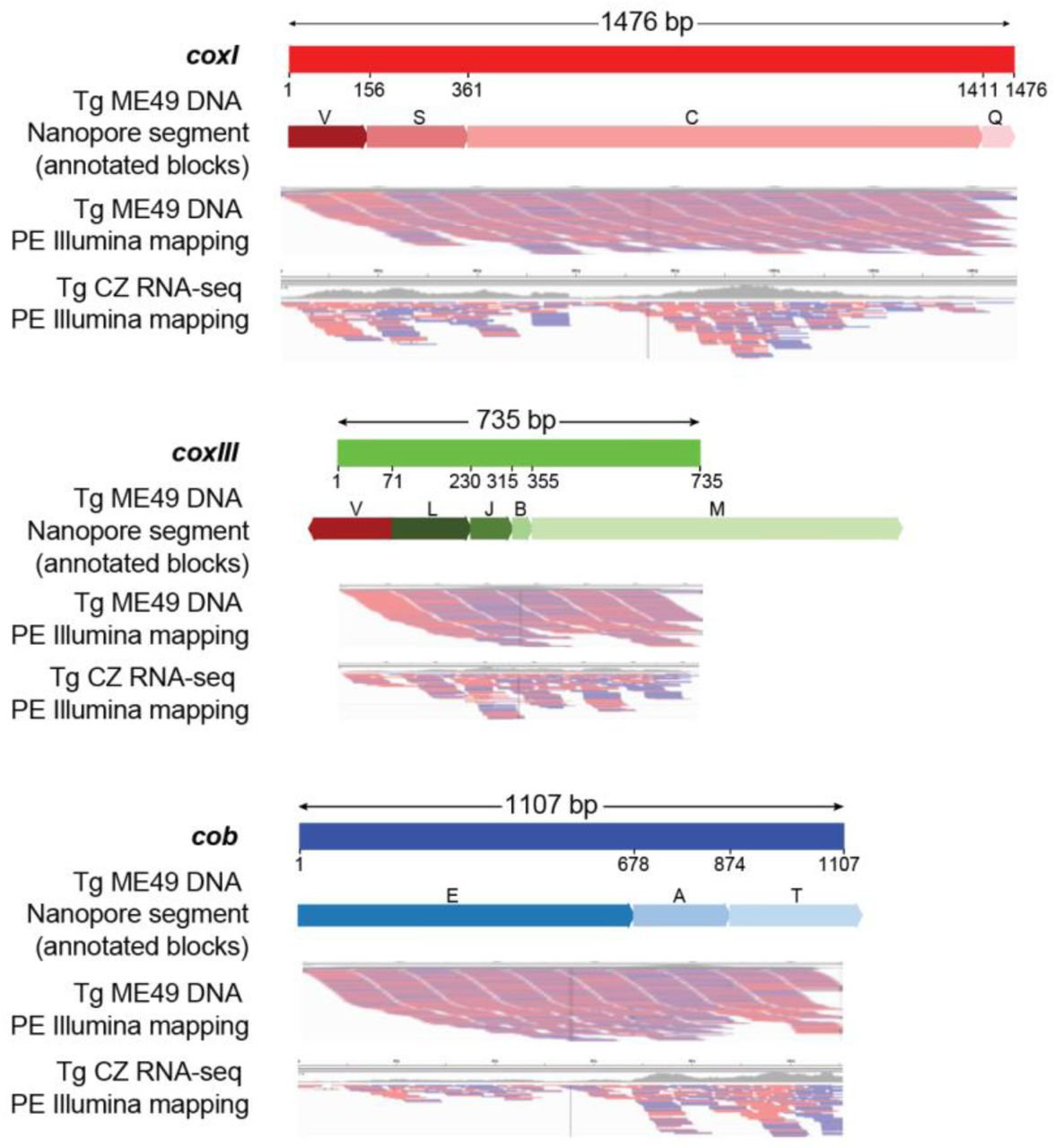 Full-length protein-encoding genes in the T. gondii mt genome are supported. Segments of a Nanopore read that can encode a full-length cytochrome gene are annotated with their sequence block name and shown below the schematic of each gene. Numbers below each gene schematic represent nucleotide start/stop positions of a sequence block on the gene. All blocks are in the forward orientation except block V in coxIII . All blocks shown participate fully in creation of the cytochrome sequence except block V where only a part of coxIII is used, and sequence blocks M and T where only a portion of the block contributes to encoding a cytochrome gene. MtDNA-specific paired-end Illumina DNA (SRR9200762) and RNA-seq (SRR6493545) reads were independently mapped to each of the cytochrome gene sequences and visualized using IGV. Red and blue lines below each gene indicate the mapped Illumina paired-ends. Both ends were required to map.