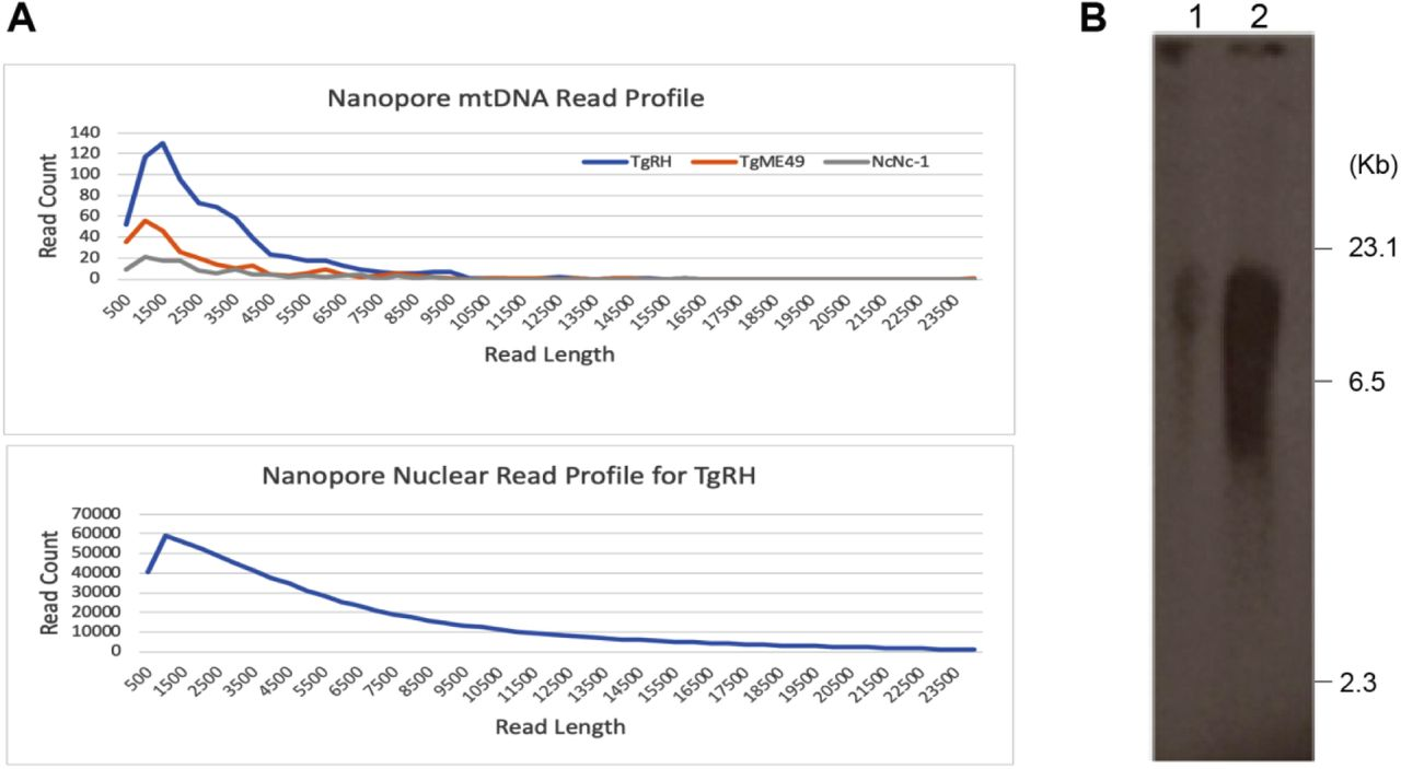 Oxford <t>Nanopore</t> Technology read length distribution and CHEF electrophoresis of <t>DNA</t> from mitochondrial enriched T. gondii cell fractions. (A) Profile of read counts plotted by length for mtDNA (top) and nuclear (bottom). Species and strains are as indicated in the legend. (B) Southern of a Contour-clamped homogeneous electric field gel electrophoresis of T. gondii total DNA (Lane 1) and mitochondrial-enriched DNA (Lane 2) probed with a 1012 bp section of the cob gene. DNA ladder is as indicated. A plot of the ME49 and Nc-1 nuclear reads is located at the bottom of Table S3 since they could not be plotted here due to difference in read count scale.