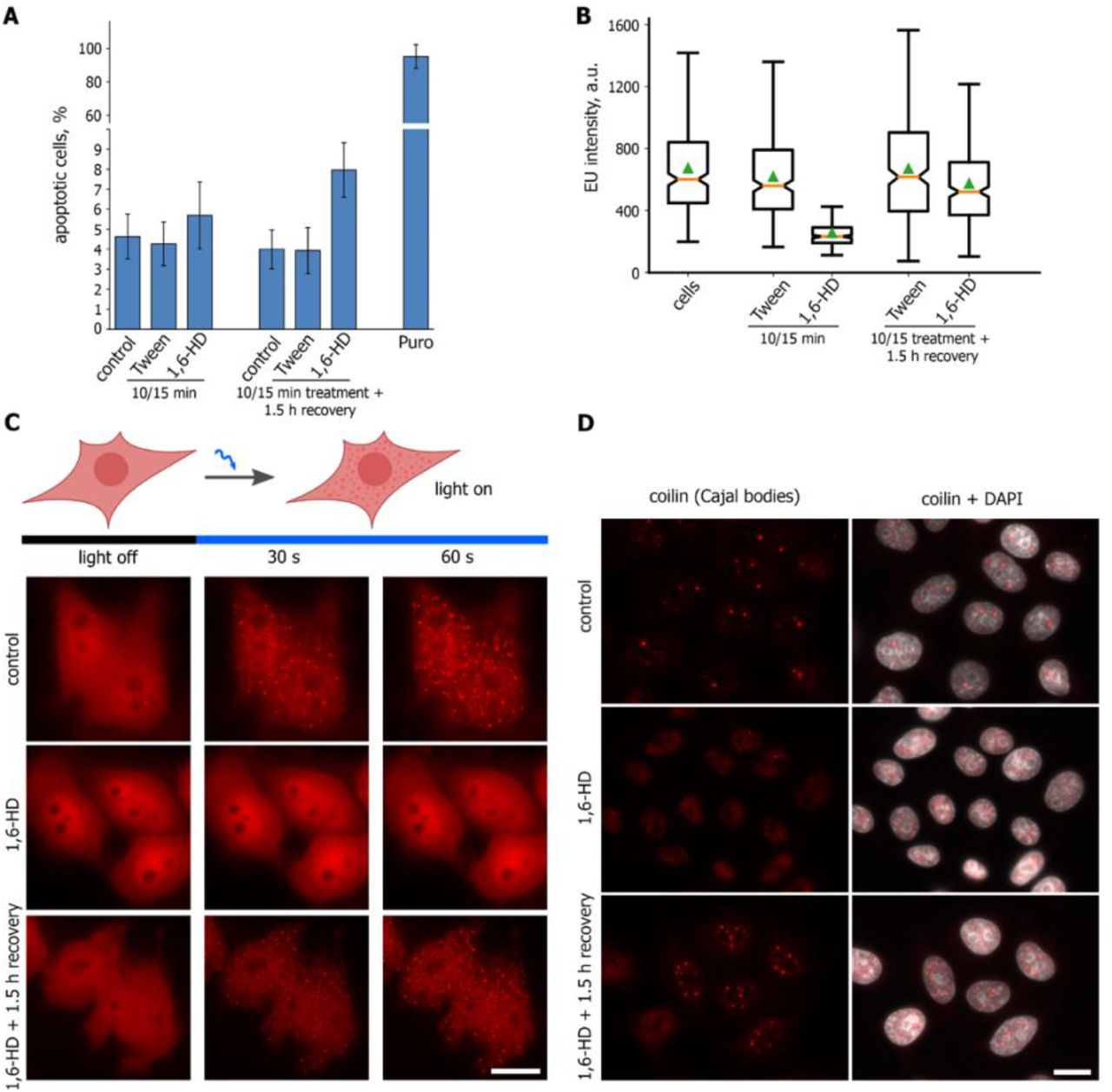 """1,6-HD compromises LLPS in living human cells. ( A ) HeLa cells were untreated or treated with Tween 20 (1%, 10 min; """"Tween""""), Tween 20 followed with 1,6-HD (5%, 15 min; """"1,6-HD"""") before being analyzed using CellEvent Caspase 3/7 Detection Reagent. The cells treated as described and then incubated in fresh culture medium for 1.5 h were analysed as well. Percent of caspase 3/7-positive (apoptotic) cells is shown. ( B ) HeLa cells treated as described in ( A ) were pulsed with <t>5-ethyniluridine</t> (EU, 200 μM, 15 min). Box plots show the EU fluorescence intensities. Horizontal lines represent the medians. ( C ) HeLa cells transfected with pHR-FUSN-mCh-Cry2WT were transiently permeabilized and then either mock-treated (control), treated with 1,6-HD (5%, 15 min), or treated with 1,6-HD and allowed to recover for 1.5 h. OptoDroplet formation was monitored as described in ( Shin et al. 2017 ). ( D ) Transiently permeabilized HeLa cells were untreated (control), treated with 1,6-HD (5%, 15 min), or treated with 1,6-HD and allowed to recover for 1.5 h before being stained for coilin (red)."""