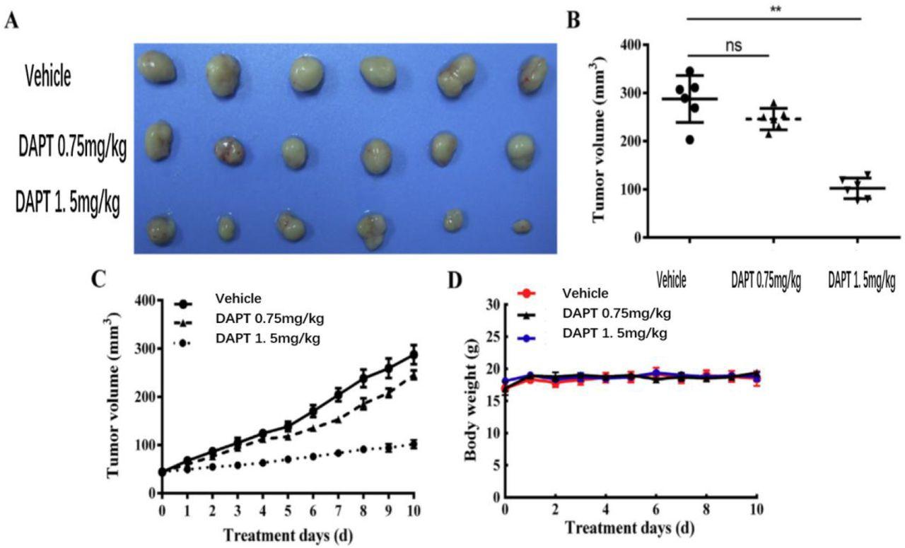 Gamma Secretase Inhibitors Inhibit Ovarian Cancer Development And Enhance Olaparib S Anti Ovarian Cancer Activity And Its Mechanism Biorxiv