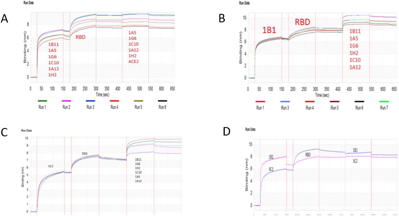 BLITZ epitope mapping of Covid-19 RBD-hits antibodies (A). Rotational mutual interaction examination of the six hits (1B11, 1A5, 1G6, 1C10, 1A12 and 1H2) was captured by protein A sensors, followed by RBD binding and one of the six antibodies plus ACE2. RBD was bound well by individual antibodies but not concurrent binding. (B). 1B1 concurrently bound to RBD with any one of the six other antibodies (1B11, 1A5, 1G6, 1C10, 1A12 and 1H2). (C). 5C2 concurrently bound to RBD with any one of the six other antibodies (1B11, 1A5, 1G6, 1C10, A12 and 1H2). (D). 1B1 and 5C2 mutually competed in binding to RBD