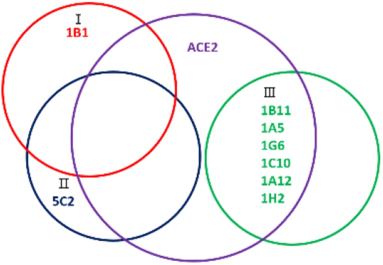 Venn map of Covid-19 hits and ACE2 on RBD Epitope locations on RBD by the isolated 8 hit antibodies were deduced from the above Blitz results and largely categorized into 3 groups (I, II and III). 1B1 and 5C2 have large overlapped sites in RBD and may block the most part of RBD-ACE2 interaction interface. The group III hits (1B11, 1A5, 1G6, 1C10, 1A12 and 1H2) binds to an independent site from 1B1 or 5C2, however may block a minor side of ACE2-RBD interaction interface.