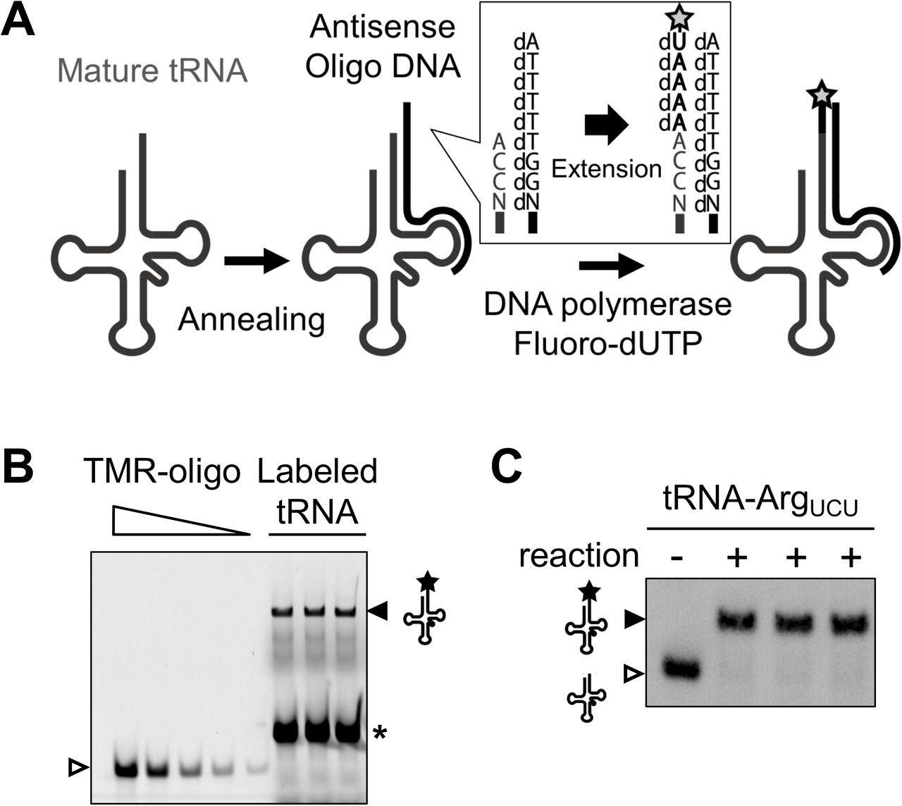 "tRNA quantification using OTTER ( A ) Schematic drawing of tRNA fluorescence labeling reaction in OTTER. A target tRNA is first hybridized with a specifically-designed antisense oligo DNA with the 5'-extension of dAdTdTdTdT (Type 1 oligo DNA). The overhang in the tRNA/DNA hybrid was filled by Klenow fragment (3'-5' exo − ) with <t>dATP</t> and fluorescence-labeled dUTP (such as <t>TMR-dUTP;</t> marked by star) as substrates. ( B ) An example for tRNA-Arg UCU quantification. Typical reactions of OTTER for tRNA-Arg UCU were analyzed by urea-PAGE and scanned with a fluorescence scanner. The fluorescence-labeled tRNA-Arg UCU (closed triangle) as well as the fluorescence-labeled template oligo DNA by a weak reverse transcription activity of the Klenow fragment (asterisk) were detected. Since the 3' end of the oligo DNA falls on the TΨC region rather conserved even among different tRNA species, unrelated tRNAs also acted as templates to produce the strong signal. Three replicates of the reaction were analyzed. The amounts of the standard TMR-oligo DNA on the gel (open triangle) were 0.500, 0.250, 0.100, 0.050, and 0.020 pmol/lane. ( C ) The three OTTER reaction products for tRNA-Arg UCU shown in ( B ) (""+"" lanes) were subjected to Northern blotting with a reaction without the template oligo DNA (""−"" lane)."