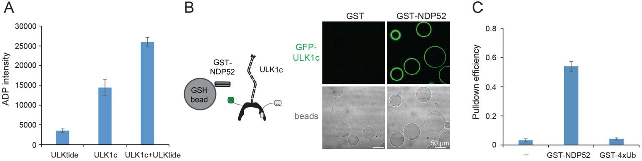 Purified ULK1 complex is functional. (A) ADP-Glo Kinase assay of ULK1 complex with ULKtide as substrate. N=5 biological replicates. All values are Mean ± SD. (B) Microscopy-based bead protein interaction assay with glutathione sepharose beads coated with GST-NDP52 as baits and incubated with GFP-tagged wild type ULK1 complex. Representative confocal micrographs are shown. Scale bars, 50 µm. (C) Pull-down efficiency of GFP-tagged wild type ULK1 complex by glutathione sepharose beads coated with GST-NDP52 or GST-4xUb as baits. N=3 biological replicates. All values are Mean ± SD.