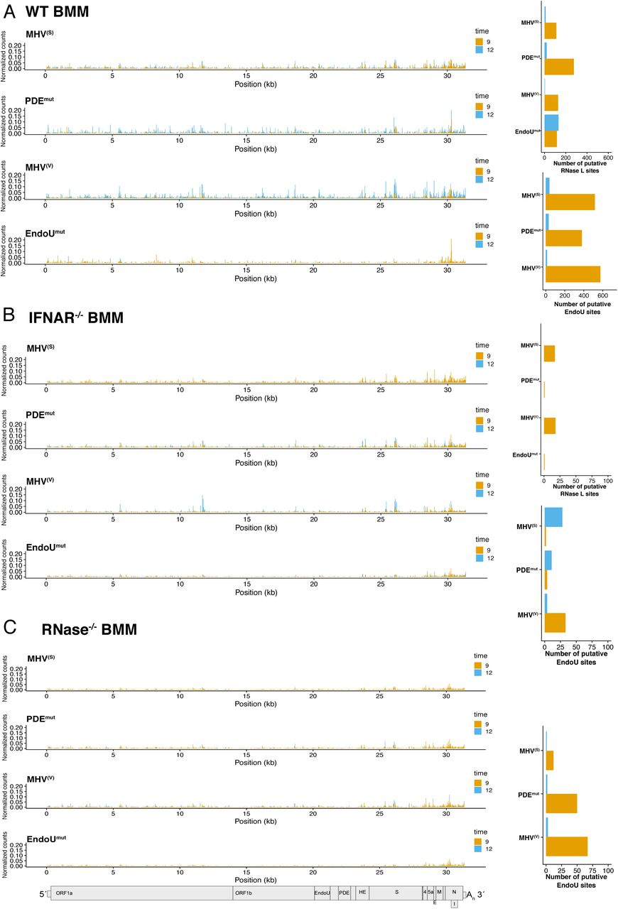 Frequency and location of endoribonuclease cleavage sites in MHV genomic RNA. (A and B) Normalized cyclic phosphate cDNA reads captured at each position along the MHV genomic RNA at 9 and 12 hpi with MHV (S), MHV (V) , PDE mut , and EndoU mut virus in (A) WT BMM, (B) IFNAR -/- , and (C) RNase L -/- BMM. Putative cleavage sites attributed to EndoU or RNase L were calculated from RNase L- or EndoU-dependent signal generated by subtracting signal from each captured position that occurs in the absence of either enzyme (RNase L -/- BMM or during EndoU mut infection). These data were then filtered for sites with reads representing at least 0.01 % of total reads in the library. At each of these positions, the log 2 fold change in signal when either RNase L or EndoU were absent was calculated and sites with ≥ 2.5 fold change were designated putative RNase L or EndoU sites.