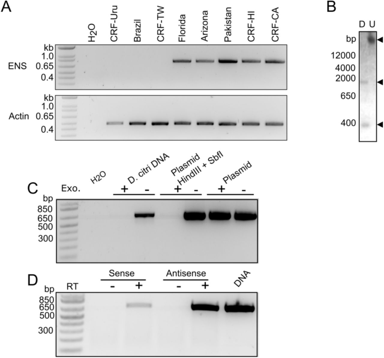 "ENS is a transcribed EVE that is unevenly distributed among distinct D. citri populations. (A) Upper: PCR products produced using primers flanking ENS (primers 2 and 8). Lower: PCR products produced using primers specific to D. citri actin (primers 9 and 10). (B) Southern blot of D. citri genomic DNA using an RNA probe based on the sequence of ENS; U = undigested, D = digested with PstI and <t>HindIII.</t> Upper arrow denotes ENS in undigested genomic DNA. Lower arrows denote cleavage products. (C) PCR products produced using primers 3 and 7 and the indicated DNA samples. ""Plasmid"" is a plasmid containing the full ENS sequence and ""Plasmid HindIII + SbfI"" is the same plasmid digested with HindIII and SbfI. DNA was left intact or digested with an exonuclease (Exo.) prior to PCR. (D) Primers 3 or 7 were used to generate cDNA from antisense or sense transcripts, respectively. cDNAs were used as templates for PCR using primers 3 and 7. DNA or cDNA prepared without reverse transcriptase (RT) served as controls."