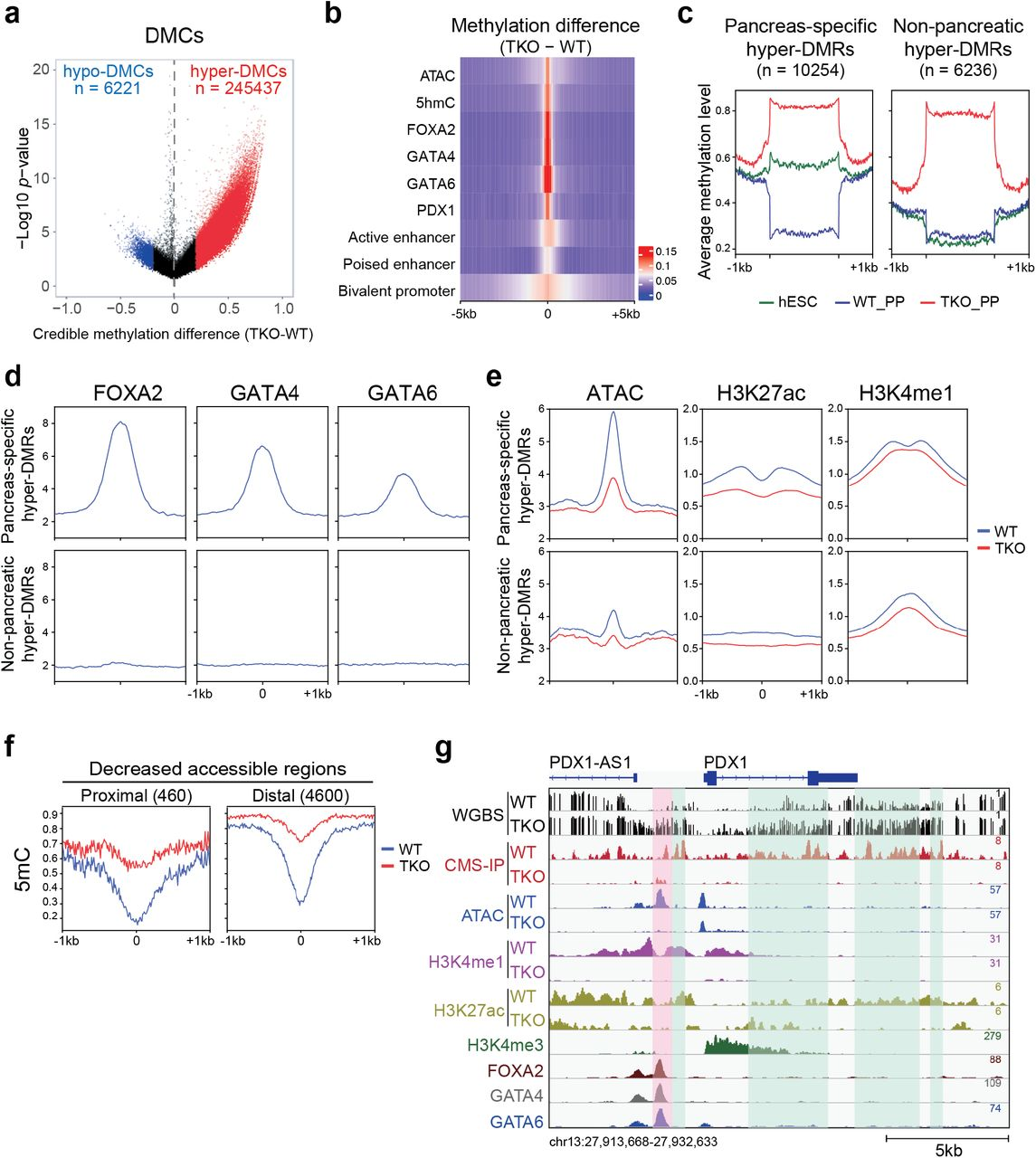 Pancreas-specific hyper-DMRs show reduced chromatin activity during pancreatic differentiation. a Volcano plot of WGBS data illustrating differentially methylated CpGs (DMCs) identified in TKO_PP cells compared with WT_PP cells. Red and blue represent increased and decreased 5mC in TKO_PP cells, respectively (credible methylation difference > 0.2). b Heatmap illustrating methylation difference between TKO_PP and WT_PP cells at centers of annotated genomic features (± 5 kb) for chromatin accessibility (ATAC), hydroxylation (5hmC), TF binding (FOXA2, GATA4, GATA6, and PDX1), bivalent promoters, poised enhancers, and active enhancers. Average 5mC signals of every 100-bp bin were calculated. c Classification of TKO hyper-DMRs based on 5mC levels in hESCs (green), WT_PP cells (blue), and TKO_PP cells (red). d Average plots of FOXA2 (left column), GATA4 (middle column), and GATA6 (right column) signal at pancreas-specific hyper-DMRs or non-pancreatic hyper-DMRs in pancreatic progenitors. e Average plots of ATAC (left column), H3K27ac (middle column), and H3K4me1 (right column) at pancreas-specific hyper-DMRs or non-pancreatic hyper-DMRs in WT_PP (blue) and TKO_PP (red) cells. f Average plots of 5mC at proximal (≤ 1 kb from TSS) and distal ( > 1 kb from TSS) decreased accessible regions in WT_PP (blue) and TKO_PP (red) cells. g Genome-browser view of the PDX1/PDX1-AS1 locus. Four type 2 diabetes-associated islet hyper-DMRs 31 overlapping with TKO hyper-DMRs are highlighted in green. A specific TKO hyper-DMR showing decreased ATAC, H3K4me1, and H3K27ac signals is highlighted in pink.