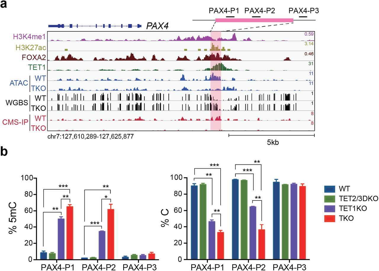 TET1 is required for the PAX4 enhancer to achieve a hypomethylated state. a Genome-browser view of the PAX4 locus with increased methylation and decreased chromatin associability upon TET depletion at a TET1/FOXA2 co-bound region featuring enhancer signatures H3K4me1 and H3K27ac. b Locus-specific increase in 5mC at the PAX4 enhancer in TKO or TET1KO samples compared with TET2/3DKO samples. Percentages of unmethylated cytosine and 5mC at CCGG sites are shown. n = 3 independent differentiation.