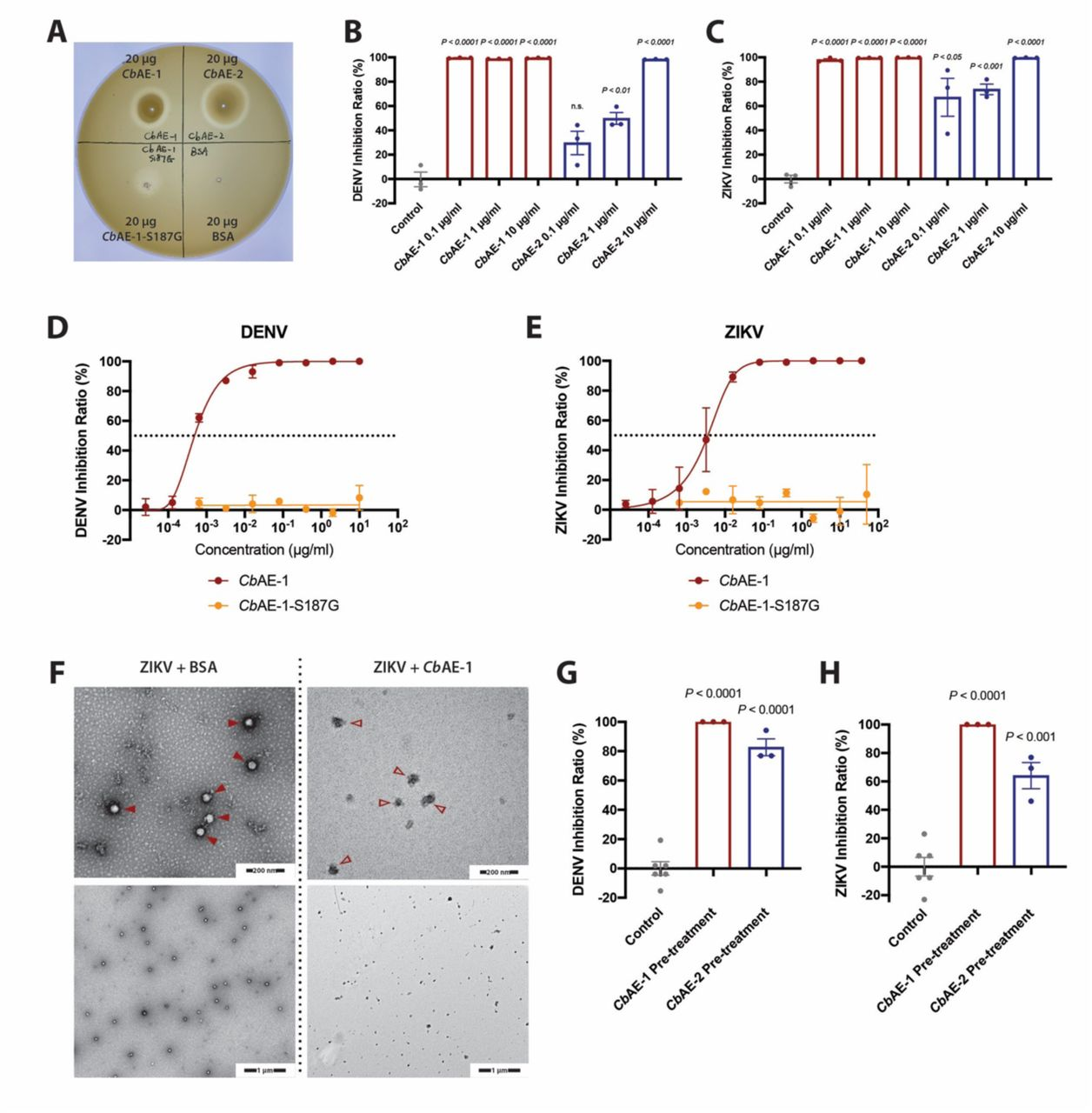 The virucidal activity of Cb AEs is mediated by enzymatic degradation of the viral lipidic envelope. (A) Lipase enzymatic activity of Cb AE-1, Cb AE-2 and Cb AE-1-S187G measured via an egg yolk agar plate assay. (B, C) Analysis of the exposure of DENV (B) or ZIKV (C) genomic RNA. DENV or ZIKV was first treated with serial concentrations of Cb AE-1, Cb AE-2 or BSA and then with RNase-A. Viral RNA degradation was evaluated by RT-qPCR. (D, E) The S187G mutant of Cb AE-1 fully lost its ability to suppress DENV (D) and ZIKV (E) infection: inhibition curves of Cb AE-1 and Cb AE-1-S187G against DENV (D) or ZIKV(E). Serial concentrations of Cb AE-1 or Cb AE-1-S187G were mixed with 50 pfu of DENV or ZIKV in VP-SFM medium to perform standard plaque reduction neutralization tests (PRNTs). (F) Representative negative stained transmission electron microscopy images of ZIKV particles treated with 10 µg/ml BSA (arrow head) and those treated with 10 µg/ml Cb AE-1 (empty arrow head); high magnification: 120,000×, low magnification: 30,000×. (G, H) Rate of DENV (G) or ZIKV (H) replication inhibition following exposure to Cb AEs before viral infection of Vero cell monolayers. The viral genome was quantified by RT-qPCR. (B, C, G, H) Significance was determined using unpaired t-tests. Data are presented as the mean ± SEM.