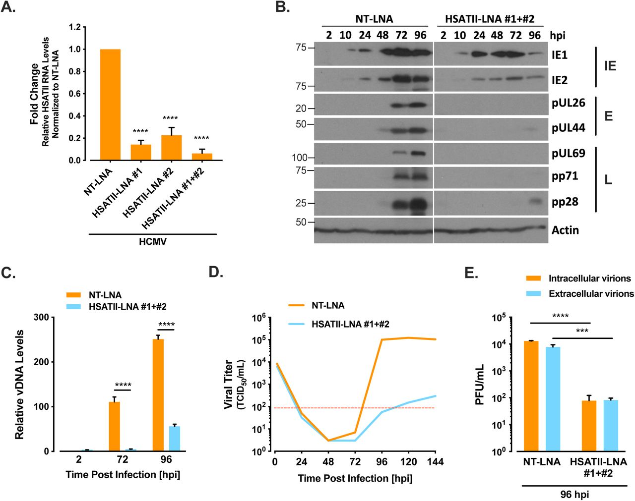 HSATII KD has strong effect on HCMV infection in epithelial cells. (A) RNA samples were collected at 24 hpi from ARPE-19 cells transfected with NT-LNA or HSATII-LNAs 24 h before HCMV (TB40/E-GFP-epi) infection at 1 TCID50/cell. RT-qPCR was performed using HSATII-specific primers. GAPDH was used as an internal control. Data are presented as a fold change mean ± SD. n=3. (B) Protein samples were collected at indicated times from ARPE-19 cells transfected with NT-LNA or HSATII-LNAs 24 h before HCMV (TB40/E-GFP-epi) infection at 1 TCID 50 /cell. Protein levels were analyzed by the western blot technique using antibodies specific to IE1, IE2, pUL26, pUL44, pUL69, pp71 and pp28. Actin was used as a loading control. (C) Total DNA was collected at indicated times from ARPE-19 cells transfected with NT-LNA or HSATII-LNAs 24 h before HCMV (TB40/E-GFP-epi) infection at 1 TCID50/cell. vDNA and cellular DNA copy numbers were determined. Data are presented as a fold change mean ± SD of the relative vDNA to cellular DNA ratio. n=3 (D) Media samples were collected at indicated times from ARPE-19 cells transfected with NT-LNA or HSATII-LNAs 24 h before HCMV (TB40/E-GFP-epi) infection at 1 TCID 50 /cell. TCID50 ml -1 values were determined . (E) Intracellular and extracellular virions were collected at indicated times from ARPE-19 cells transfected with either NT-LNA, HSATII-LNA#1, HSATII-LNA#2 or both HSATII-LNAs 24 h before HCMV (TB40/E-GFP-epi) infection at 1 TCID 50 /cell. TCID50 ml -1 values were determined. Data are presented as a mean ± SD. n =3. *** P