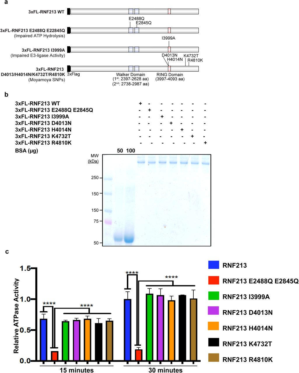 MMD SNPs do not affect AAA+ ATPase activity of RNF213 a , Schematic showing RNF213 WT and positions of AAA+ ATPase (E2488Q, E2845Q), RING (I3999A) and MMD-associated (D4013N, H4014N, K4732T, R4810K) mutants. b , HeLa Flp-In T-Rex KO cells were transfected with 3x Flag RNF213 WT , 3x Flag RNF213 E2488Q, E2845Q , 3x-Flag-RNF213 I3999A , 3x-Flag-RNF213 D4013N , 3x-Flag-RNF213 H4014N , 3x-Flag-RNF213 K4732T or 3x-Flag-RNF213 R4810K . Thirty-six hours post-transfection, cells were harvested and lysates were subjected to immunoprecipitation using anti-Flag antibody. Purified RNF213 variants were detected by SDS-PAGE and Coomassie blue staining. BSA was loaded to aid in quantification of RNF213. c , ATPase activity of purified RNF213 variants from Fig. 2b . Error bars represent means ± SD of three independent experiments, each with samples in triplicate. Statistical significance was evaluated by two-way ANOVA, followed by Dunnett test.