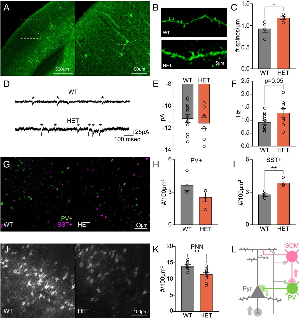 GLT1 HET mice have abnormal maturation of excitatory and inhibitory circuits. A) Left: low-magnification image of neurons in visual cortex of GFP-M transgenic mice. Right: higher-magnification image of layer 2/3 neurons (dotted box in left). B) Images of basal dendrites of layer 2/3 neurons in GLT1 WT (top) and HET (bottom) mice. WT example is from dotted box in right panel of A. C) GLT1 HET mice have increased spine density on basal dendrites of layer 2/3 neurons in visual cortex (n=4 animals, 5 slices, 10 dendrites per animal, t-test, p=0.041). D) Example traces of miniature excitatory post-synaptic currents (mEPSCs) from voltage-clamped layer 2/3 neurons in the visual cortex of GLT1 WT and HET mice. E) Quantification of mEPSC amplitude showing no difference in magnitude of mEPSCs (n=8-13 cell, t-test, p=0.49). F) Neurons from GLT1 HET mice have a trend towards increased mEPSC frequency (n=8-13 cells, t-test, p=0.052). G) Example images of parvalbumin positive (PV+, green) and somatostatin positive (SST+, magenta) interneurons in visual cortex of GLT1 WT and HET mice). H) GLT1 HET mice have a trend towards decreased PV+ neuron density (n=4 animals, 5 slices per animal, t-test, p=0.12). I) GLT1 HET mice have a significant increase in SST+ cell density (n=4 animals, 5 slices per animal, t-test, p=0.0023). J) Example images of perineuronal nets (PNNs) visualized using wisteria floribunda agglutin (WFA) staining. K) GLT1 HET mice have significantly decreased PNN density compared to WT littermates (n=9 animals, 5 slices per animal, t-test, p=0.0068). L) Model of net decrease in cortical inhibition through increased SST+ cell density inhibiting PV+ interneurons yielding increase in excitatory pyramidal neuron responses (Pyr). *p