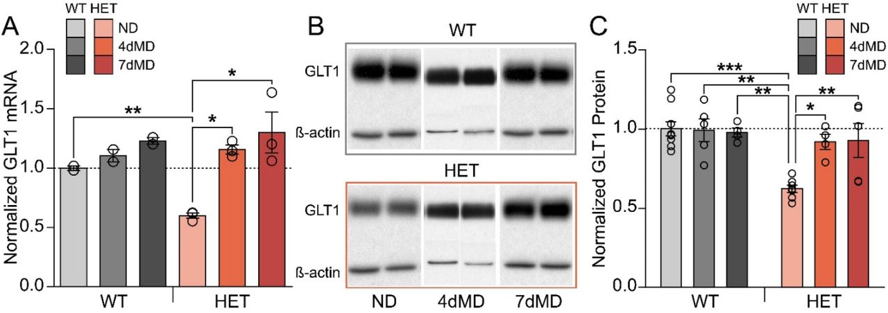 GLT1 HET mice have upregulation of GLT1 expression during monocular deprivation. A) Quantification of GLT1 mRNA in WT (grays) and HET (reds) mice in ND, 4dMD, and 7dMD conditions. GLT1 HET mice have significantly less GLT1 mRNA in ND conditions, but no difference at 4dMD and 7dMD compared to WT mice (n=2-3 animals per group, two-way ANOVA, Holm-Sidak post-hoc comparisons). B) Example western blots for GLT1 protein in WT (top) and HET (bottom) mice in ND, 4dMD, and 7dMD conditions. C) Quantification of western blots showing significantly less GLT1 protein in HET mice in ND, but no difference in 4dMD and 7dMD compared to WT littermates (n=4-9 animals per group, two-way ANOVA, Holm-Sidak post-hoc comparisons). *p