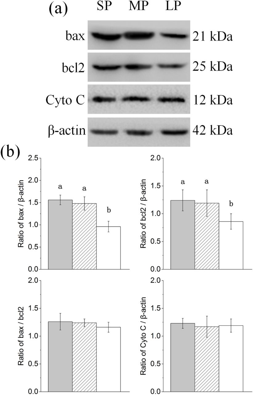 Changes in protein levels of apoptosis related factors in HG of hamsters in three different photoperiodic groups (a) Representative immunoblots of bax, bcl2, Cyto C, and β-actin in three different photoperiodic groups. (b) Ratio of bax, bcl2, Cyto C to β-actin and ratio of bax to bcl2 in HG of hamsters in three different photoperiodic groups. Values are means ±SD. n=10. SP, short photoperiod; MP, moderate photoperiod; LP, long photoperiod. Different letters identify statistically significant difference ( P