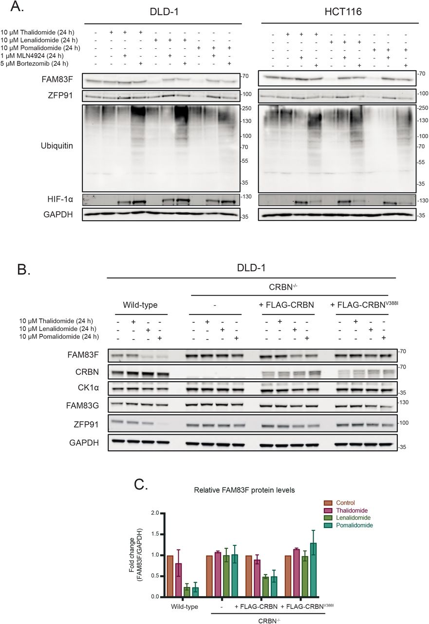 IMiD-induced FAM83F degradation occurs via the proteasome and is dependent on cereblon. (A) DLD-1 and HCT116 cell extracts treated with 10 μM IMiD compounds, 1 μM MLN4924, 5 μM Bortezomib or a combination thereof as indicated for 24 h were resolved by SDS-PAGE and subjected to Western blotting with the indicated antibodies. The accumulation of <t>HIF-1α</t> and ubiquitylated proteins following MLN4924 and Bortezomib treatments respectively were used as positive controls for successful compound treatments. (B) DLD-1 wild-type, DLD-1 CRBN -/- , DLD-1 CRBN -/- rescued with FLAG-CRBN and DLD-1 CRBN -/- rescued with FLAG-CRBN V388I cell extracts treated with IMiD compounds (10 μM 24 h), were resolved by SDS-PAGE and subjected to Western blotting with the indicated antibodies. (C) Densitometry of FAM83F protein abundance upon treatment with IMiD compounds (10 μM 24 h) from (B). FAM83F protein abundance was normalised to GAPDH protein abundance and represented as fold change compared to untreated cells. Data representative of two biological replicates with bar graph representing mean ± standard error.