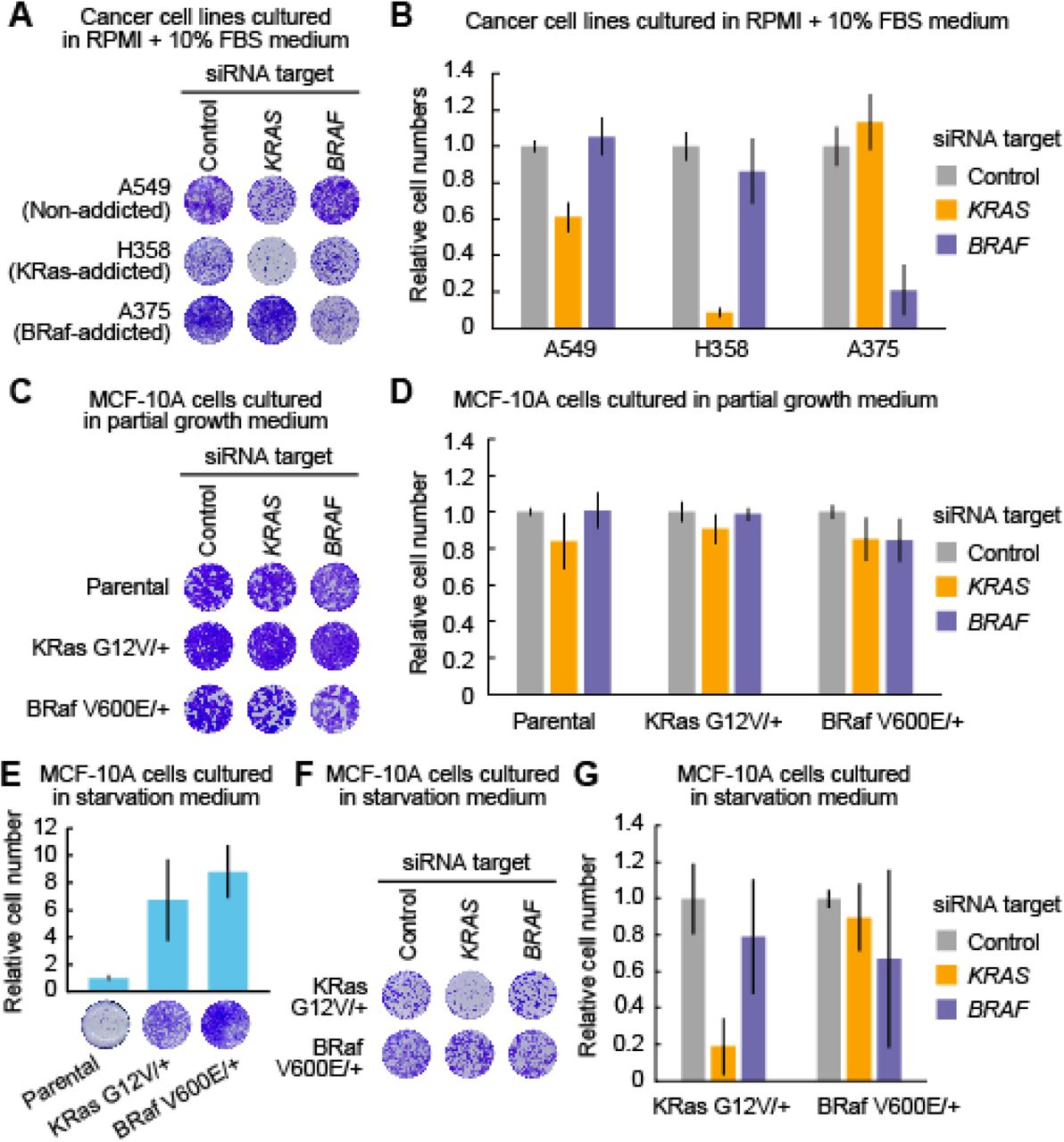 Evaluation of oncogenic KRAS or BRAF addiction in MCF-10A cells harboring a single allele mutation of KRAS G12V or BRAF V600E. (A and B) Cell growth assays following siRNA-mediated negative control, KRAS, or BRAF ablation in the A549, H358, and A375 cell lines. Four days after transfection with siRNA, relative cell densities were determined by crystal violet staining. Representative 96-well plates are shown (A). The mean relative cell number is shown with the SD (n = 2) (B). (C and D) Cell growth assays following siRNA-mediated negative control, KRAS, or BRAF ablation in the parental MCF-10A, KRAS G12V/+, and BRAF V600E/+ cell lines grown in the partial growth medium. Three days after transfection with siRNA, relative cell densities were determined by crystal violet staining. Representative 96-well plates are shown (C). The mean relative cell number is shown with the SD (Parental, n = 4; KRAS G12V/+, n = 4; BRAF V600E/+, n=3) (D). (E) Cell growth assays in the parental MCF-10A, KRAS G12V/+, and BRAF V600E/+ cell lines grown in starvation medium for four days with the indicated siRNA. Relative cell densities were determined by crystal violet staining. Representative 96-well plates are shown (lower). Mean relative cell numbers are shown with the SD (Parental, n = 3; KRAS G12V/+, n = 9; BRAF V600E/+, n=8) (upper). (F and G) Cell growth assays following siRNA-mediated negative control, KRAS, or BRAF ablation in the KRAS G12V/+ and BRAF V600E/+ cell lines grown in starvation medium. Four days after transfection with siRNA, relative cell densities were determined by crystal violet staining. Representative 96-well plates are shown (F). The mean relative cell number is shown with the SD (n = 8) (G).
