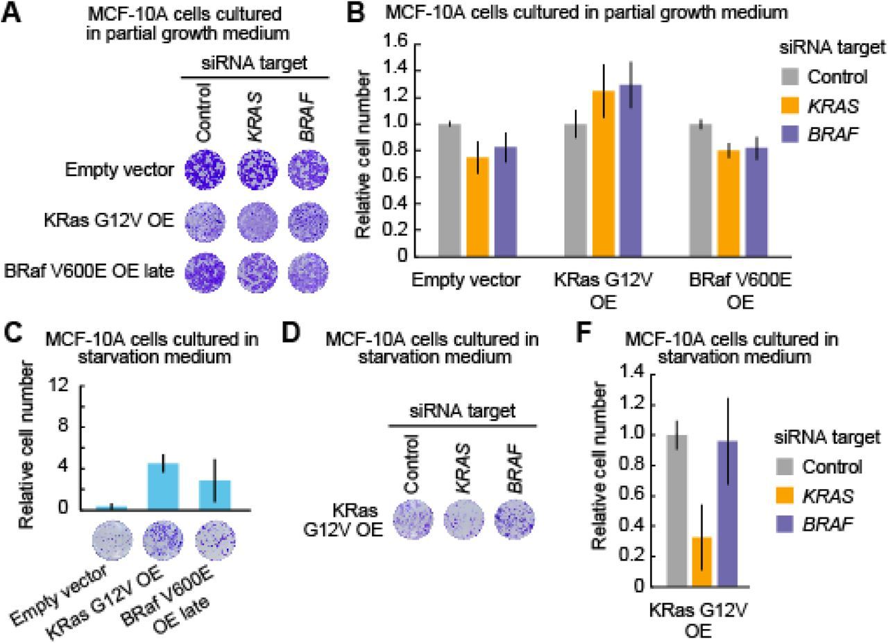 Evaluation of oncogenic KRAS or BRAF addiction in MCF-10A cells overexpressing KRAS G12V or BRAF V600E. (A and B) Cell growth assays following siRNA-mediated negative control, KRAS, or BRAF ablation in parental MCF-10A, KRAS G12V OE, and BRAF V600E OE late cell lines grown in the partial growth medium. Three days after transfection with siRNA, relative cell densities were determined by crystal violet staining. Representative 96-well plates are shown (A). The mean relative cell number is shown with the SD (n = 4) (B). (C) Cell growth assays in empty vector-introduced MCF-10A, KRAS G12V OE, and BRAF V600E OE late cell lines grown in the starvation medium for four days with the indicated siRNA. Relative cell densities were determined by crystal violet staining. Representative 96-well plates are shown (lower). Mean relative cell number are shown with the SD (empty vector control, n = 3; KRAS G12V OE, n =8; BRAFV600E OE, n = 8) (upper). (D and E) Cell growth assays following siRNA-mediated negative control, KRAS, or BRAF ablation in the KRAS G12V OE cell line grown in the starvation medium. Four days after transfection with siRNA, relative cell densities were determined by crystal violet staining. Representative 96-well plates are shown (D). The mean relative cell number is shown with the SD (n = 8) (E).
