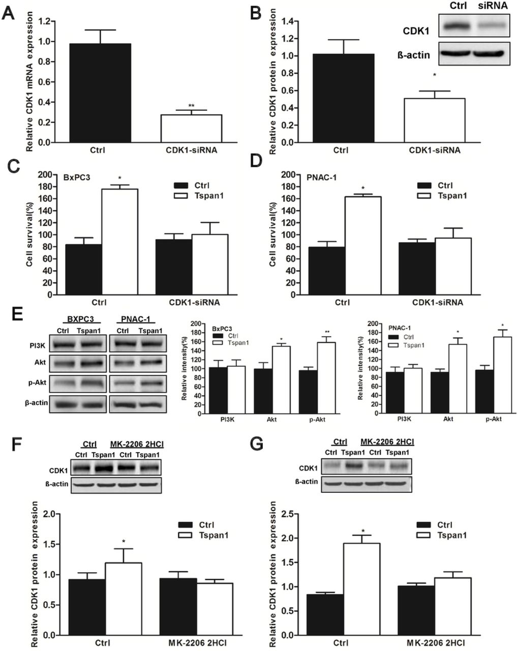 Tspan1 up-regulated BxPC3 and PNAC-1 cells proliferation and CDK1 expression depend on the activation of Akt HEK293 cells were transfected with CDK1 siRNA, the expression levels of CDK1 were detected with qRT-PCR (A) and Western blot (B). BxPC3 and PNAC-1 cells were transfected with pLNCX-TSPAN1-cDNA plasmid (Tspan1). Plasmid pLNCX was transfected into BxPC3 and PNAC-1 cells as control cells (Ctrl). After transfection of CDK1 siRNA, cell proliferation ability and CDK1 expression were observed and analyzed. Alamar blue assay method results of cell survival and proliferation in the Tspan1-overexpressed BxPC3 cells (C) and PNAC-1 cells (D) after CDK1-silencing. CDK1 knock-down significantly abolished the increased cell survival and proliferation ability induced by Tspan1 overexpression. E. The expression levels of PI3K, Akt and p-Akt in the Tspan1-overexpressed BxPC3 cells and PNAC-1 cells were measured by western blotting. It demonstrated that Tspan1 overexpression could promote the expression and phosphorylation of Akt. Then MK-2206 2HCl, a specific inhibitor of Akt were used to suppress the Akt activation, then the expression of CDK1 was assessed in the Tspan1-overexpressed BxPC3 cells (F) and PNAC-1 cells (G). It showed that suppression of Akt significantly attenuated the increased CDK1 expression induced by Tspan1 over-expression. * P