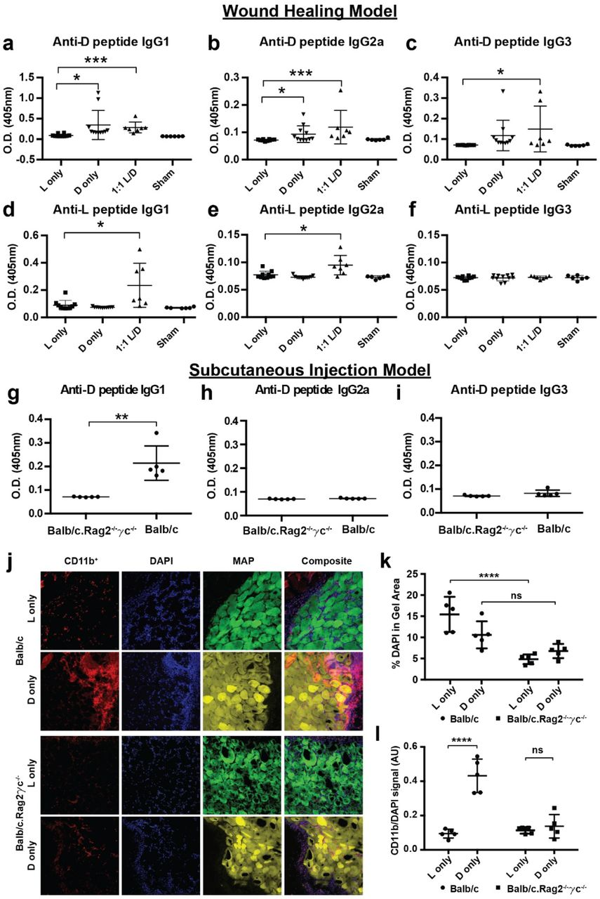 D-MAP induces antibody responses in vivo and requires an intact adaptive immunity for optimal myeloid cell recruitment. a-c) Measurement of anti-D specific IgG subtype antibodies by ELISA 21 days following wound healing experiments in SKH1 mice treated with indicated hydrogels. d-f) Measurement of anti-L specific IgG subtype antibodies by ELISA 21 days following wound healing experiments in SKH1 mice treated with indicated hydrogels. g-i) Measurement of anti-D specific IgG subtype antibodies in Balb/c or Balb/c.Rag2 −/− γc −/− mice given a subcutaneous injection of D-MAP 21 days after injection. j-l) Representative examples of confocal immunofluorescent imaging for CD11b, DAPI, and hydrogel from subcutaneous implants of L- or D-MAP hydrogel implants in Balb/c or Balb/c.Rag2 −/− γc −/− mice (j) and quantification of total DAPI+ cells (k), CD11b + myeloid cells (l). Data is plotted as a scatter plot showing the mean and standard deviation. *, **, *** represent statistical significance by student t-test for the comparison indicated.