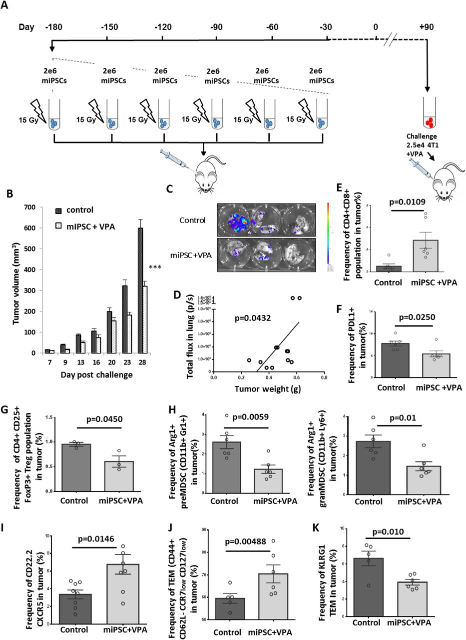 Effective memory immune response following vaccination with miPSCs (A) Experimental protocol to evaluate in vivo immune memory generated by vaccination: BALB/c mice were injected subcutaneously six times with 2×10 6 miPSCs (15Gy irradiated) in the right flank. Tumor challenge occurred 120 days after the final vaccine dose was given; mice were injected with 2.5×10 4 4T1-GFP-Luc cells and VPA was added in their drinking water. (B) At day 28 post-challenge, breast tumors were significantly smaller in mice that had undergone the six-month vaccination protocol compared to unvaccinated mice (n=6 per group). (C) Bioluminescence images of lungs isolated from miPSC-vaccinated and control mice 28 days after tumor challenge. (D) A significant correlation was found between tumor burden and metastatic spread in the lungs of vaccinated mice at day 28 post-challenge. (E) The frequency of CD4 + CD8 + cells in tumors of treated and untreated mice, as measured by flow cytometry. (F) The frequency of PDL1 + cells in tumors of miPSC-vaccinated mice compared to controls, as measured by flow cytometry. (G) The frequency of Treg cells in tumors of miPSC-vaccinated mice compared to controls, as measured by flow cytometry. (H) The frequency of Arg1 + preMDSCs and granMDSCs in tumors of miPSC-vaccinated mice compared to controls, as measured by flow cytometry. (I) The frequency of CXCR5 + CD22.2 + LB cells in tumors of miPSC-vaccinated mice compared to controls, as measured by flow cytometry. (J) The frequency of T-effector memory cells in tumors of miPSC-vaccinated mice compared to controls, as measured by flow cytometry. (K) The frequency of KLRG1 + T-effector memory cells in tumors of miPSC-vaccinated mice compared to controls, as measured by flow cytometry.