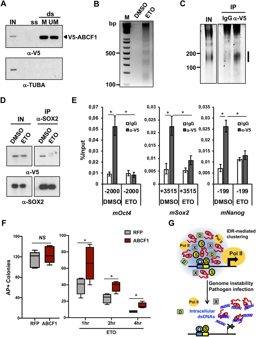 Intracellular DNAs modulate pluripotency gene expressions through ABCF1. (A) V5-ABCF1 D3 mouse ES cell WCEs are incubated with three different 5' biotinylated 98mer oligonucleotides: single-stranded (ss), double-stranded (ds) with SOX2-binding motif (Matched, ds-M), or ds without the motif (Unmatched, ds-UM). These DNA sequences are derived from Listeria monocytogenes genome. Input WCEs (IN) and streptavidin-beads captured, DNA-bound ABCF1 proteins are analyzed by western blotting. α-tubulin (TUBA) is used as control for binding specificity. (B) Genomic DNA purified from nuclear extracts prepared from DMSO and etoposide-treated (ETO, 20 μM) V5-ABCF1 knock-in (KI) D3 ES cells were analyzed on agarose gel and stained with ethidium bromide. (C) WCEs prepared from ETO-treated (20 μM) V5-ABCF1 KI D3 ES cells are incubated with IgGs or anti-V5 antibodies. Co-purified nucleic acids are treated with RNase A, separated on urea-PAGE, and stained with SYBR Gold. Vertical bar denotes DNAs specifically bound by ABCF1. (D) DNA damage disrupts ABCF1-SOX2 interaction. Input (IN) and SOX2 IPs from WCEs of DMSO or ETO-treated (20 μM) V5-ABCF1 KI D3 ES cells are analyzed by western blotting. (E) MNase-ChIP of ABCF1 in DMSO and ETO-treated (80 μM) V5-ABCF1 KI D3 ES cells. Enrichment of ABCF1 on OCT4/SOX2-targeted regions of Oct4, Sox2 , and Nanog gene promoters is analyzed by qPCR as in Figure 4 . (F) Colony formation assays in control and ABCF1 gain-of-function D3 cells. 200 D3 ES cells stably expressing RFP or V5-ABCF1 are plated on 24-well plates, treated with DMSO (left) or ETO (1 μM, right) for indicated period of time (hr), and let recover for 6 days before staining for AP activity. AP-positive colonies are counted. Error bars represent SEM of three independent experiments. n = 3. (*) P